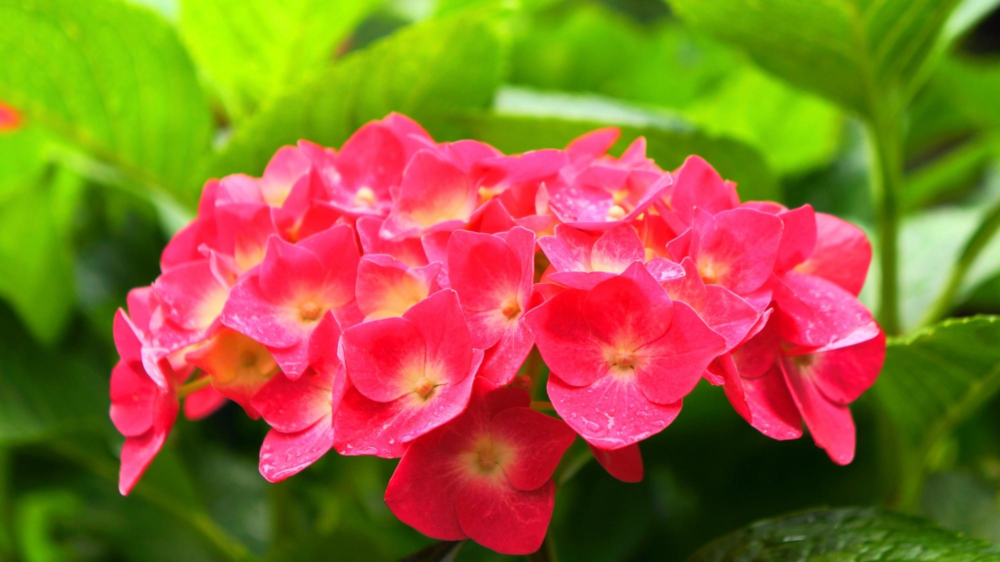 目を引くビビッドな鮮やかなアジサイの花