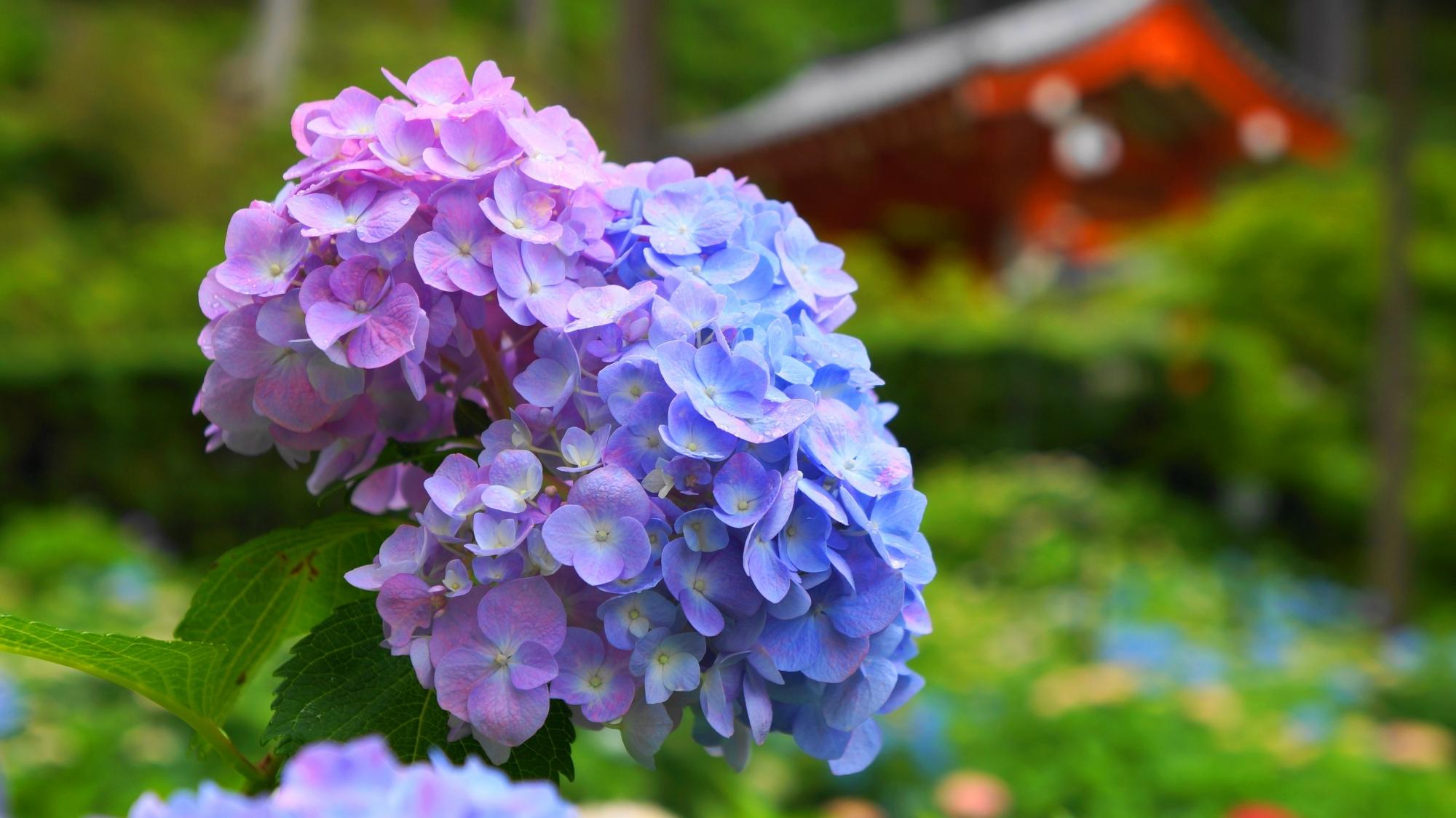 朱色の山門を背景にした薄い紫と水色の2色の紫陽花
