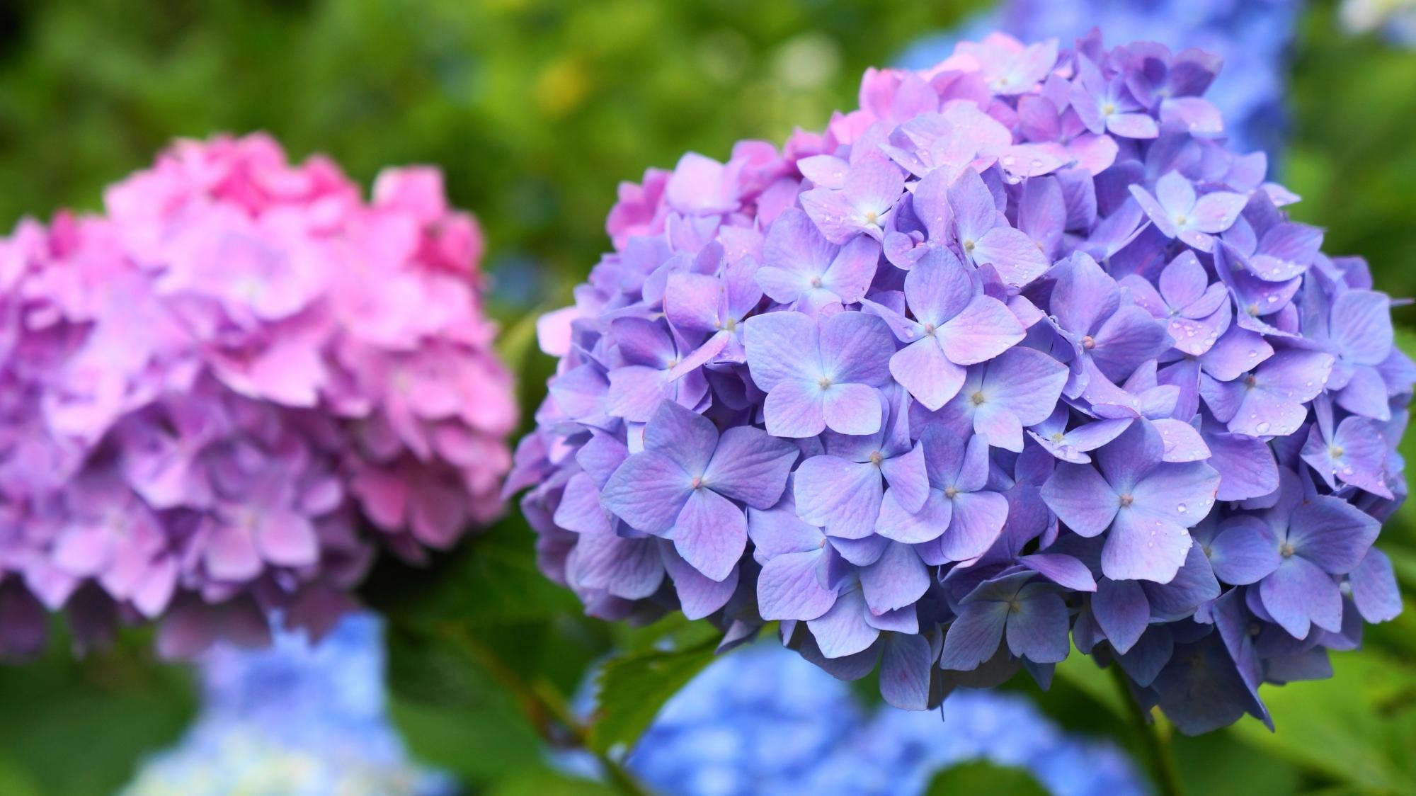 上品で美しいほのかな紫の紫陽花