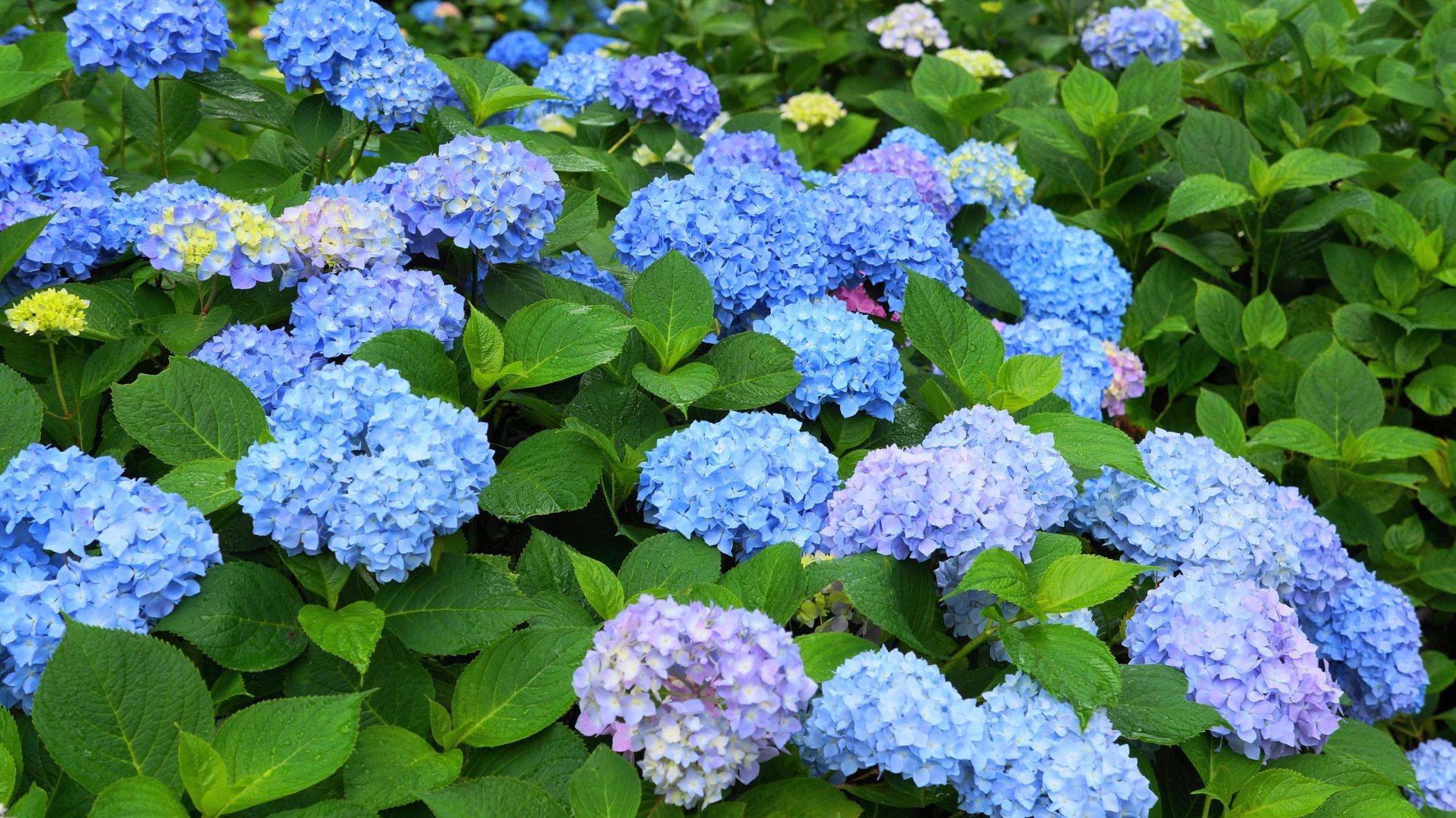 三室戸寺の素晴らしい紫陽花と初夏の情景