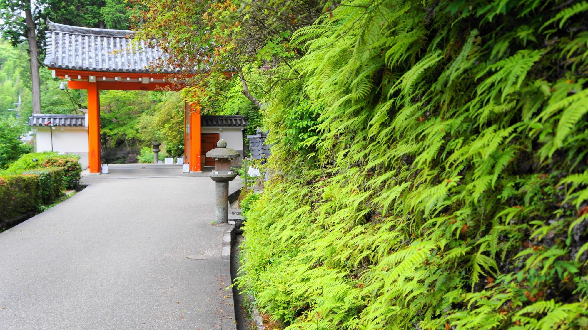 三室戸寺の境内から眺めた山門と鮮やかな緑やシダ