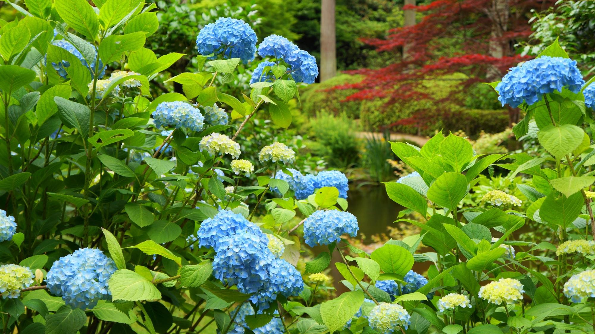 三室戸寺の池泉式庭園付近に咲く青い紫陽花