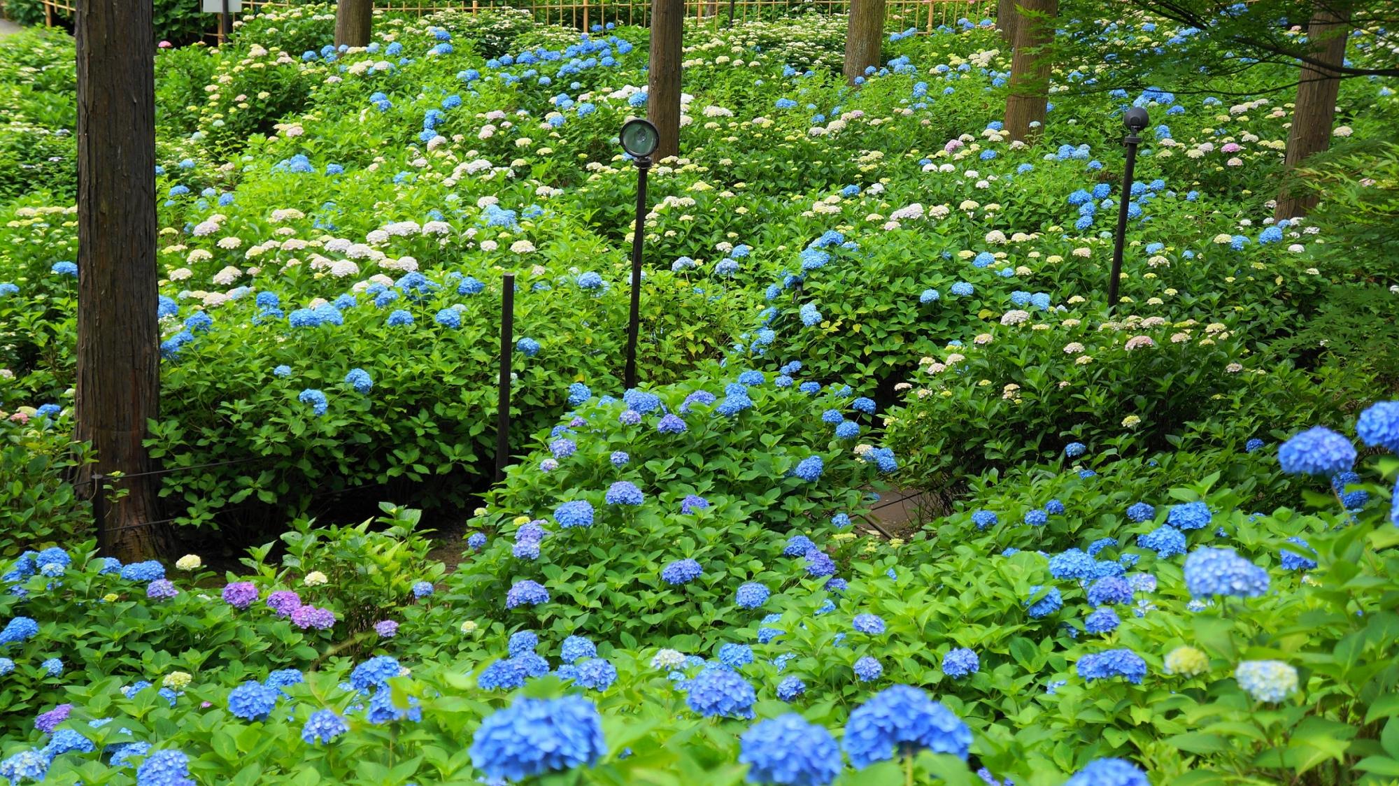 たくさんの紫陽花で溢れる三室戸寺の「あじさい園」