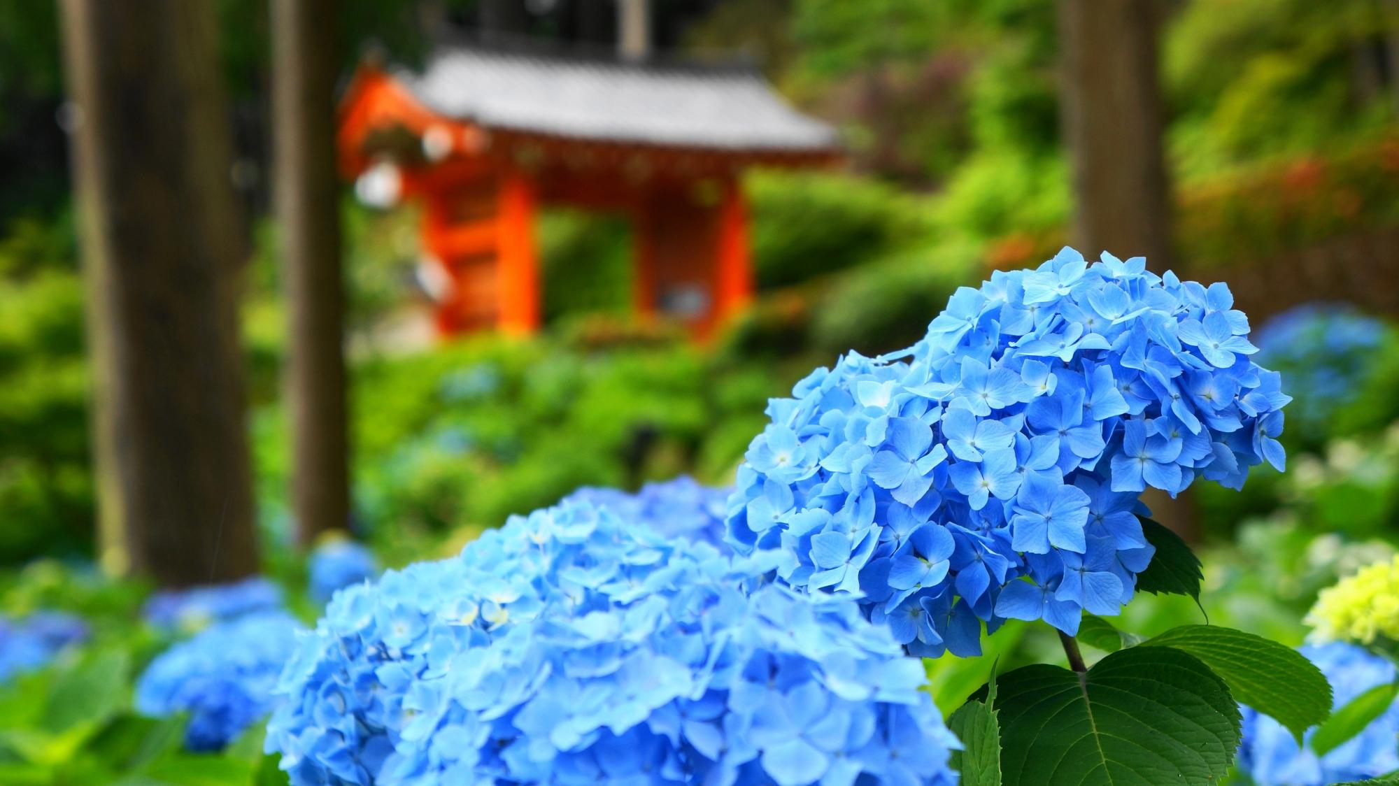 京都宇治を代表する紫陽花の名所の三室戸寺
