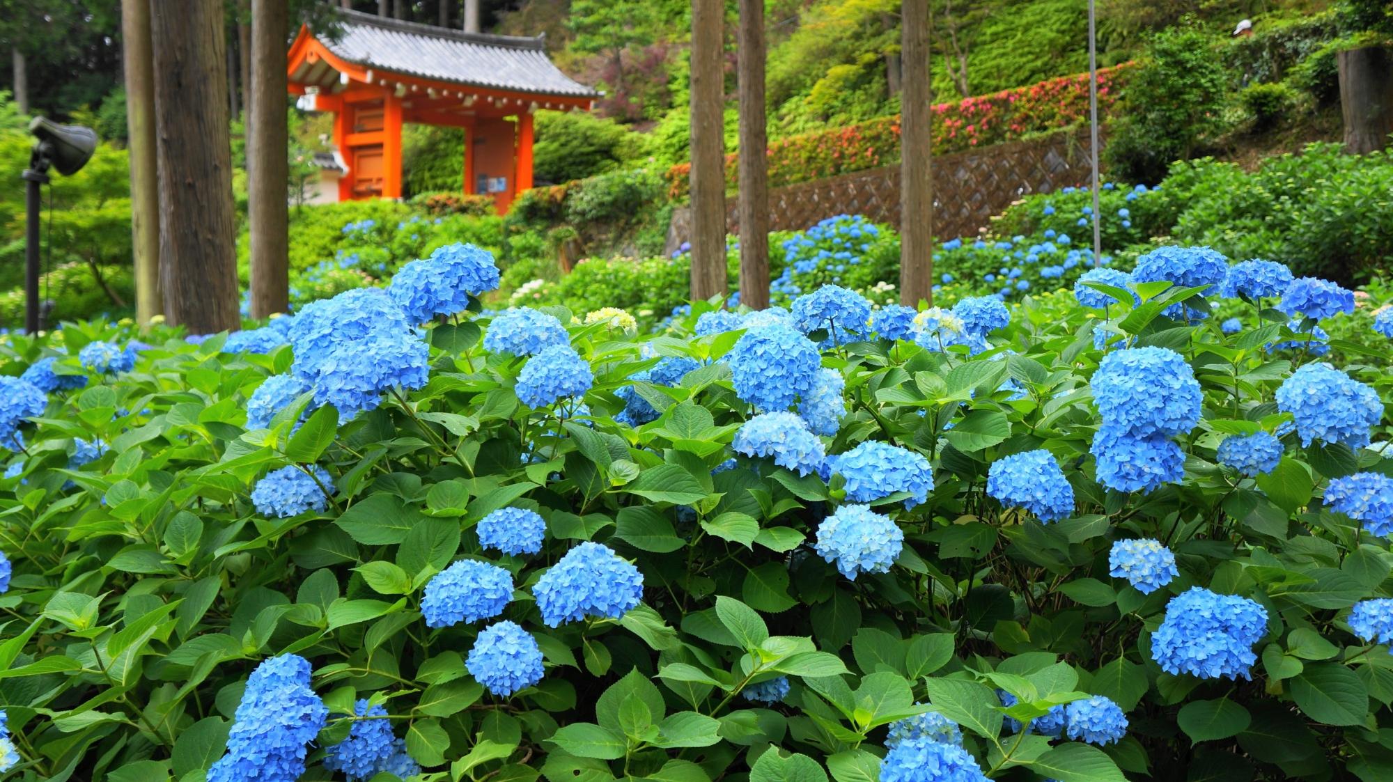 三室戸寺の朱色の山門と鮮やかな青い紫陽花