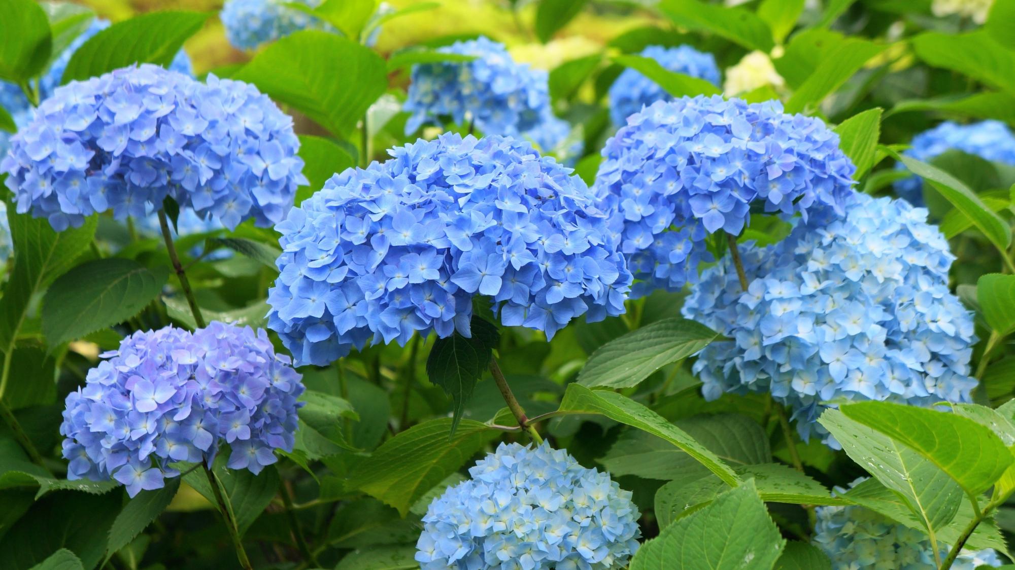 緑の葉の上で優雅に揺らめく青い紫陽花