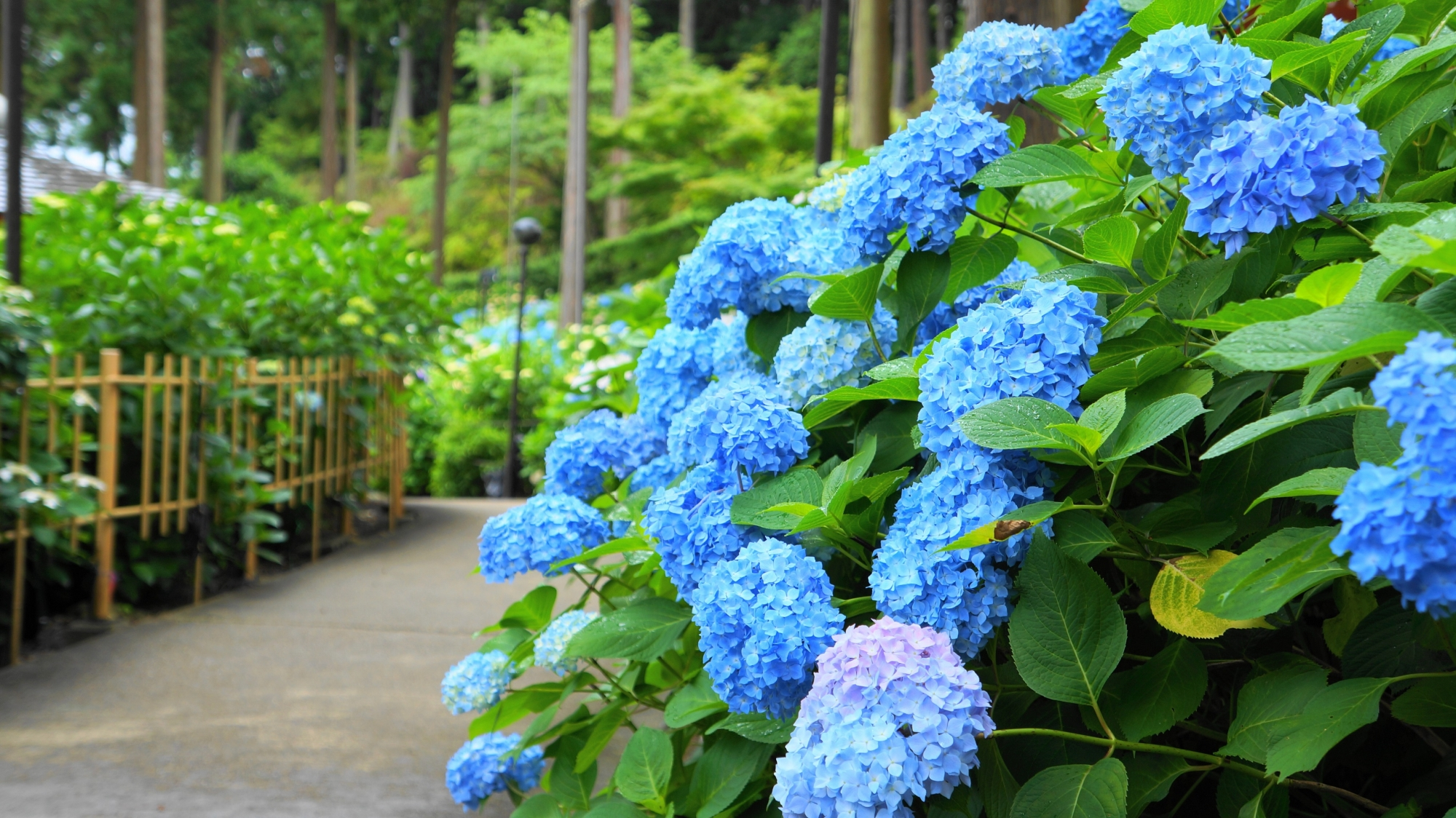 三室戸寺のあじさい園の参道沿いに咲く満開の紫陽花