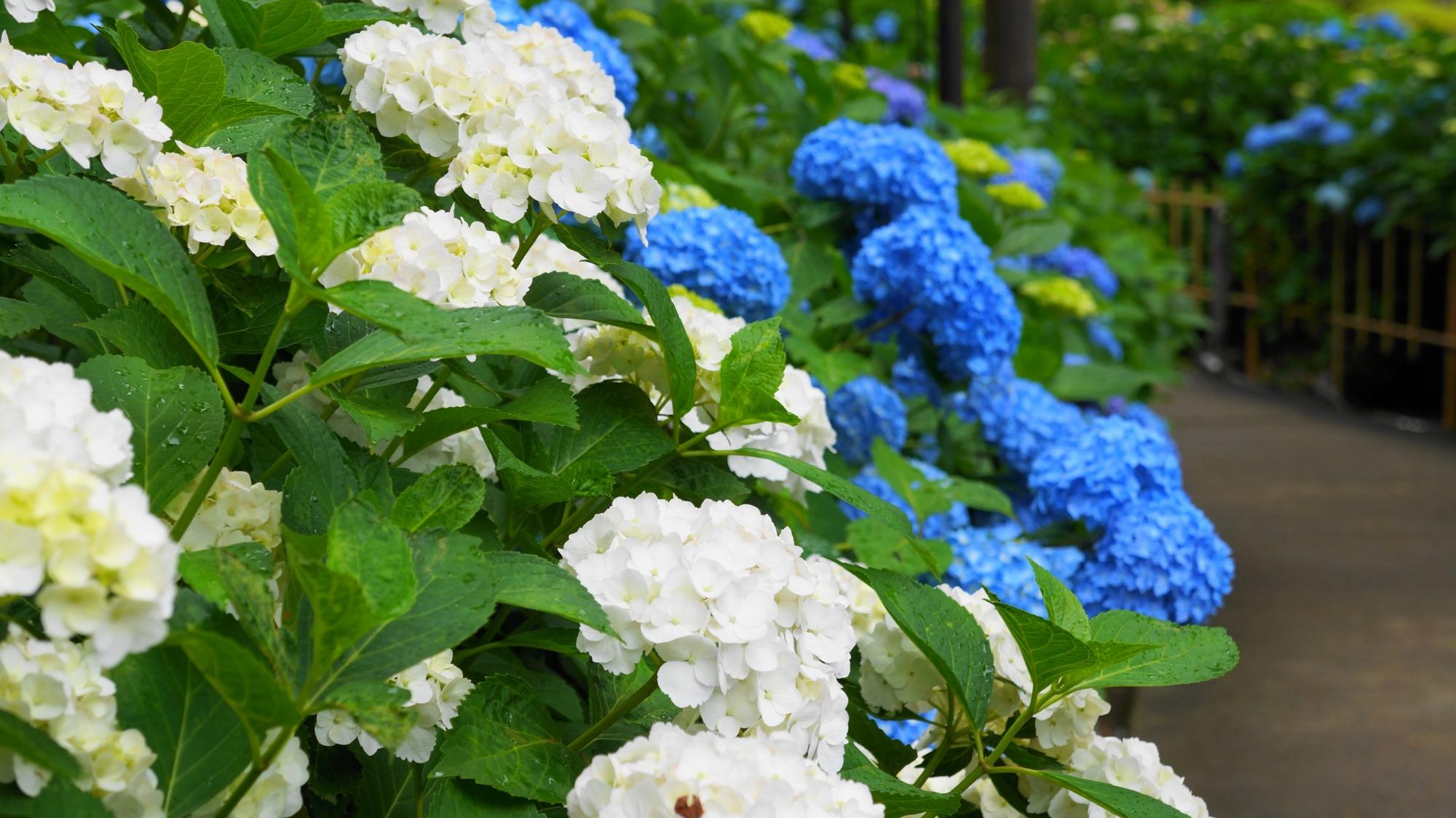 緑や青に映える三室戸寺の爽やかな白い紫陽花