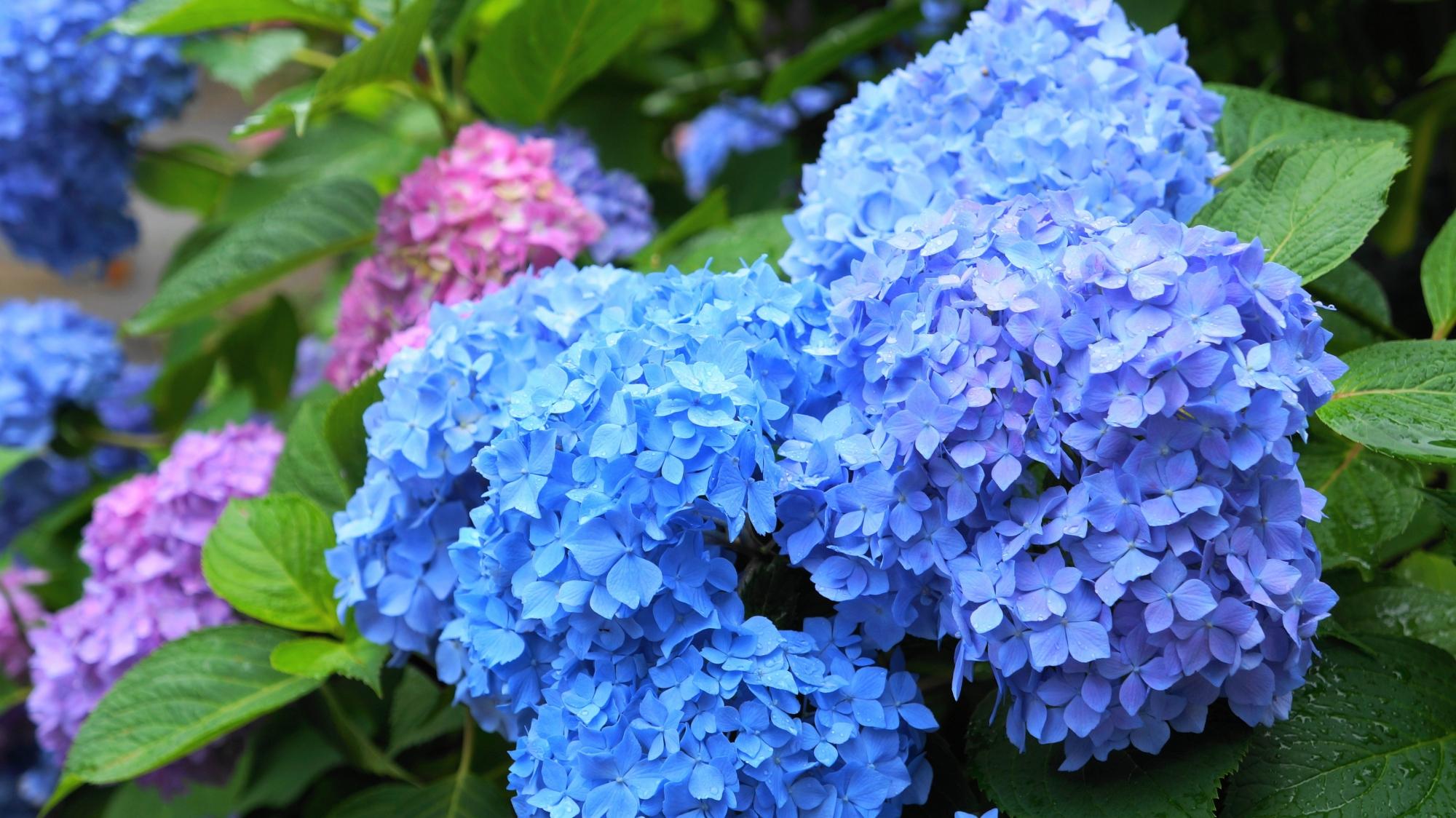 合体した微妙に色合いの異なる青系の紫陽花