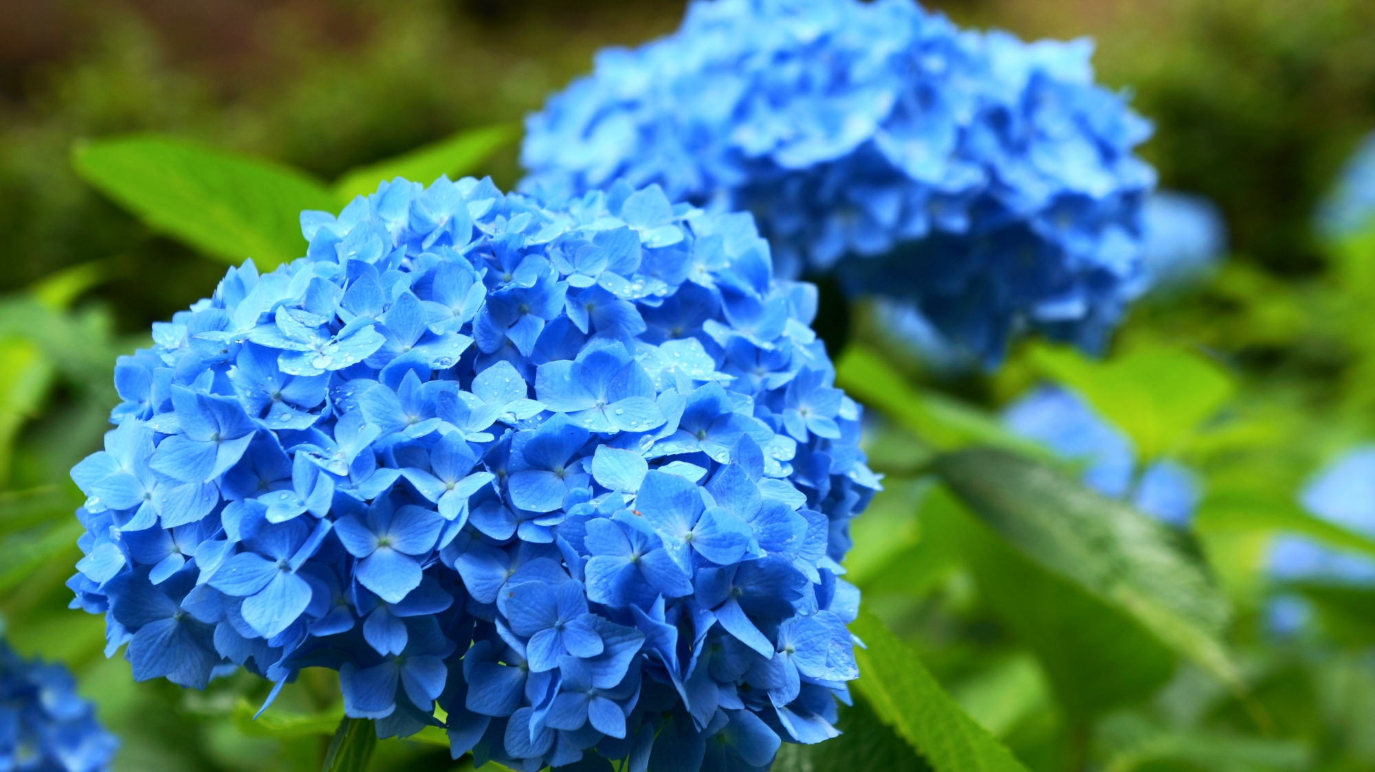 三室戸寺の煌く明るい青系の紫陽花