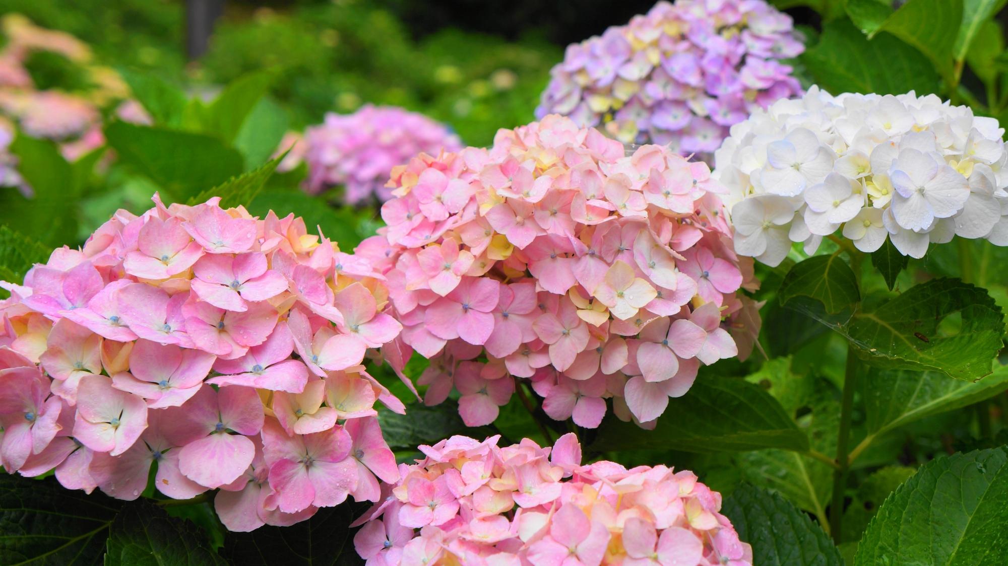 三室戸寺のほのかなピンクの優しげな紫陽花
