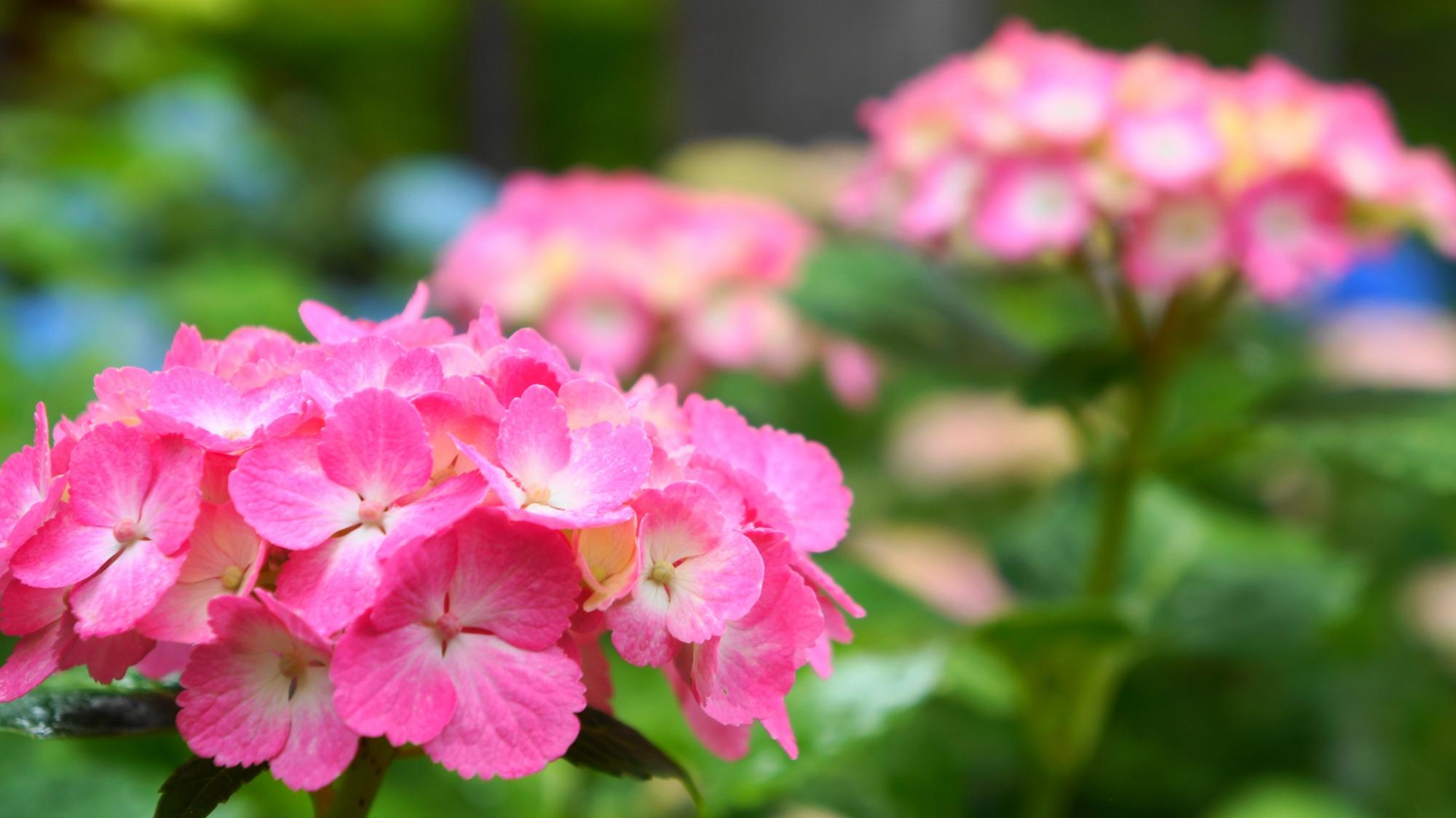 三室戸寺の華やかな明るいピンクの紫陽花