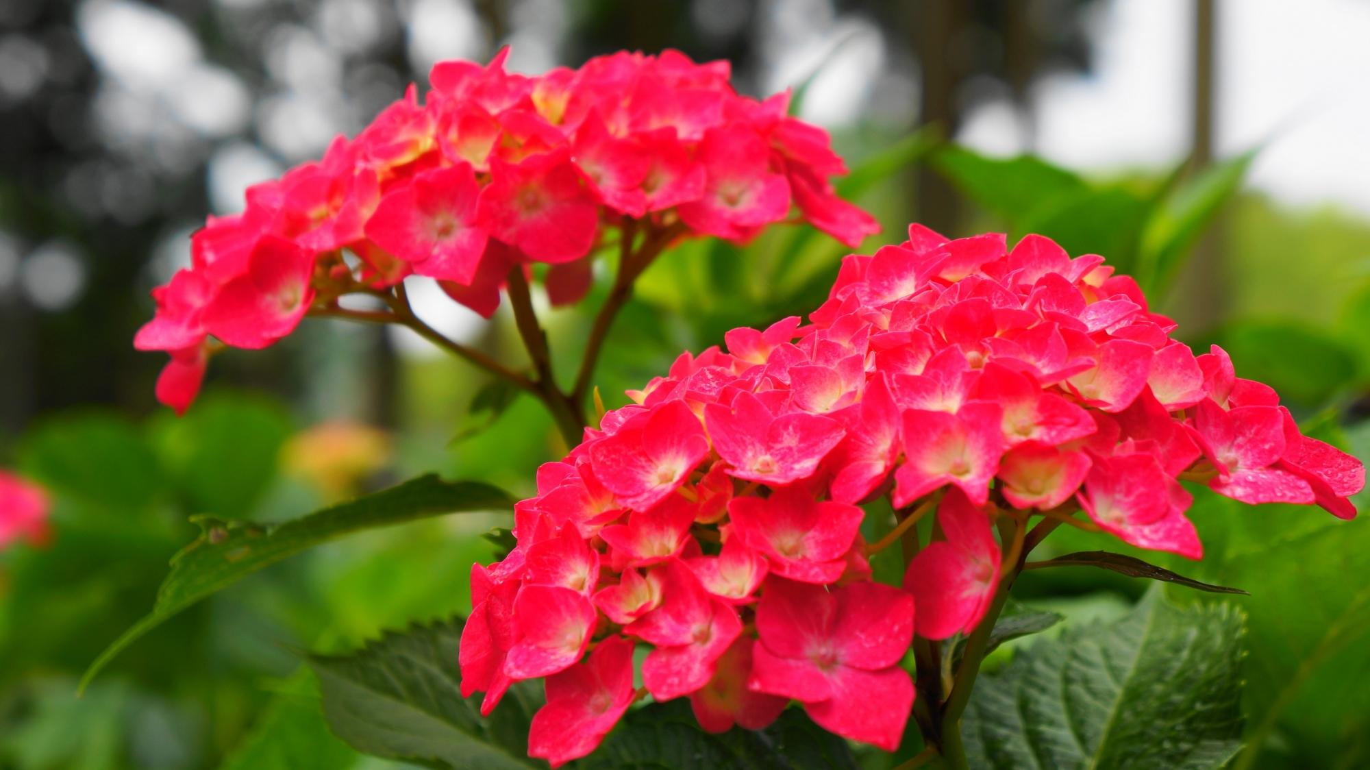 三室戸寺の鮮烈な色合いの赤に近い濃いピンクの紫陽花