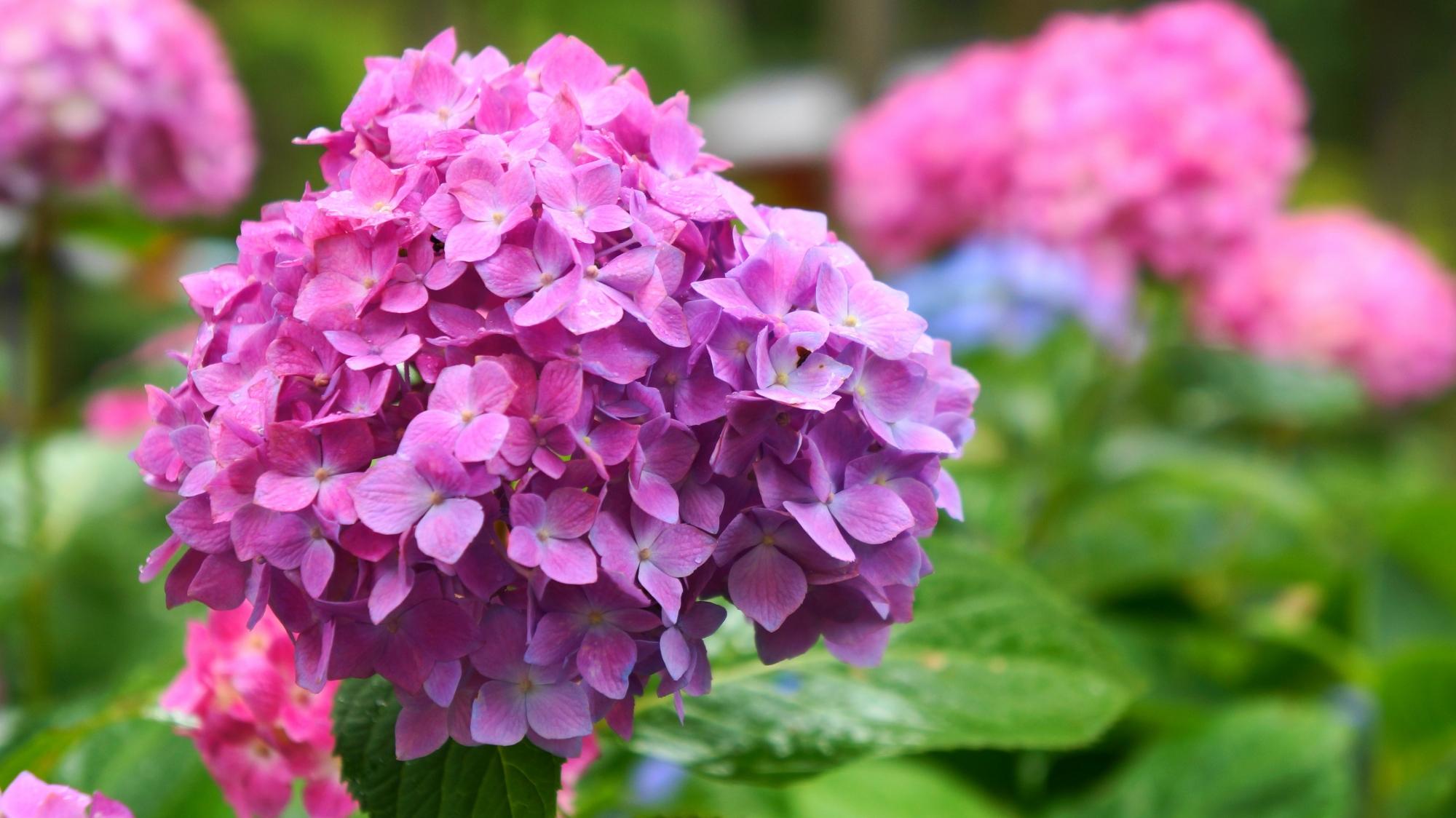 三室戸寺の妖艶な色合いの紫の紫陽花