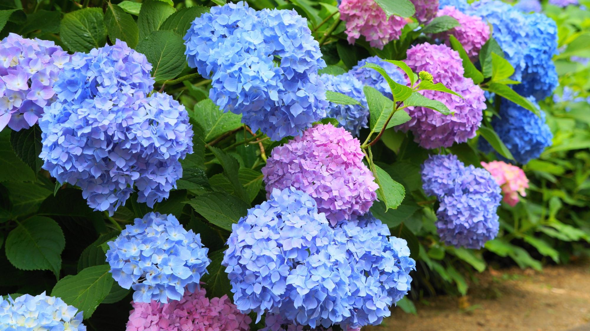 色とりどりの紫陽花という言葉にぴったりの景色