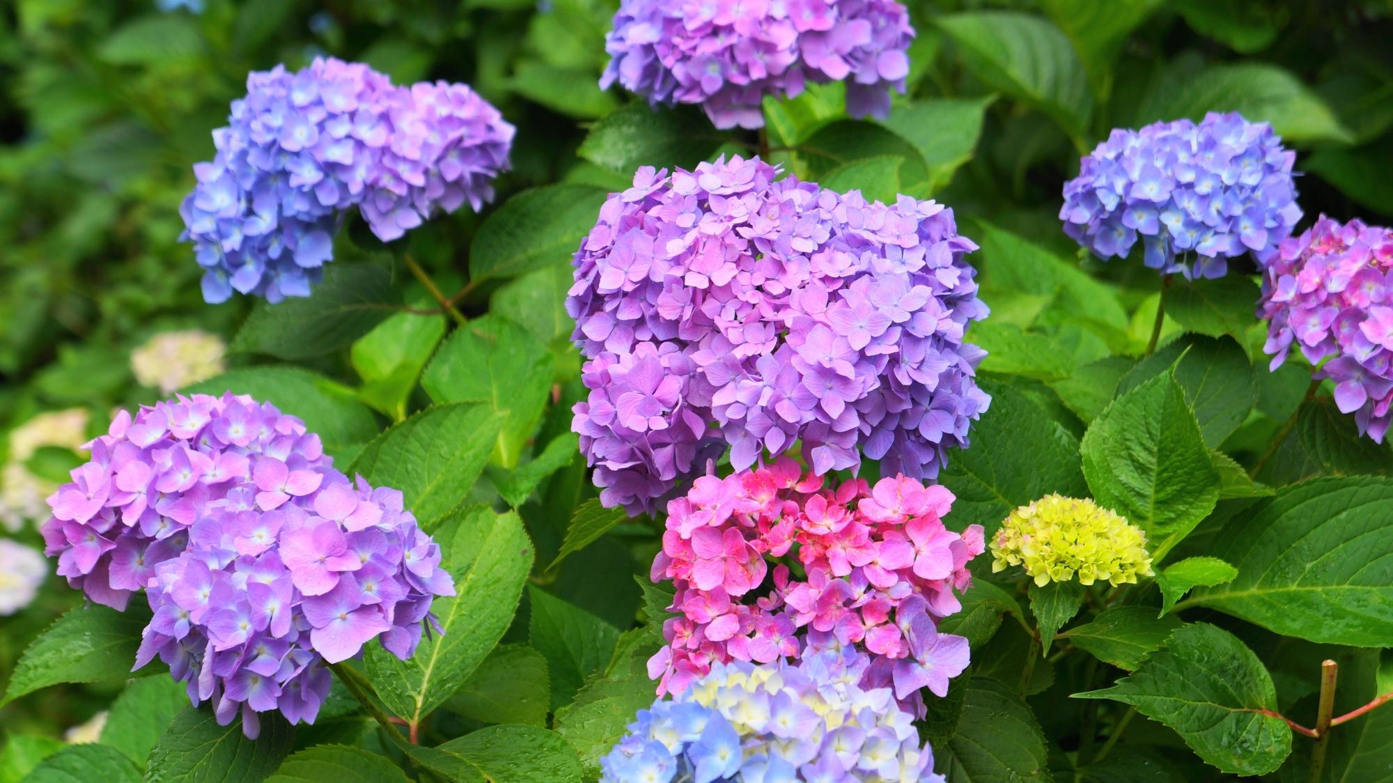 多様な紫陽花で溢れる6月の「あじさい寺」と呼ばれる三室戸寺
