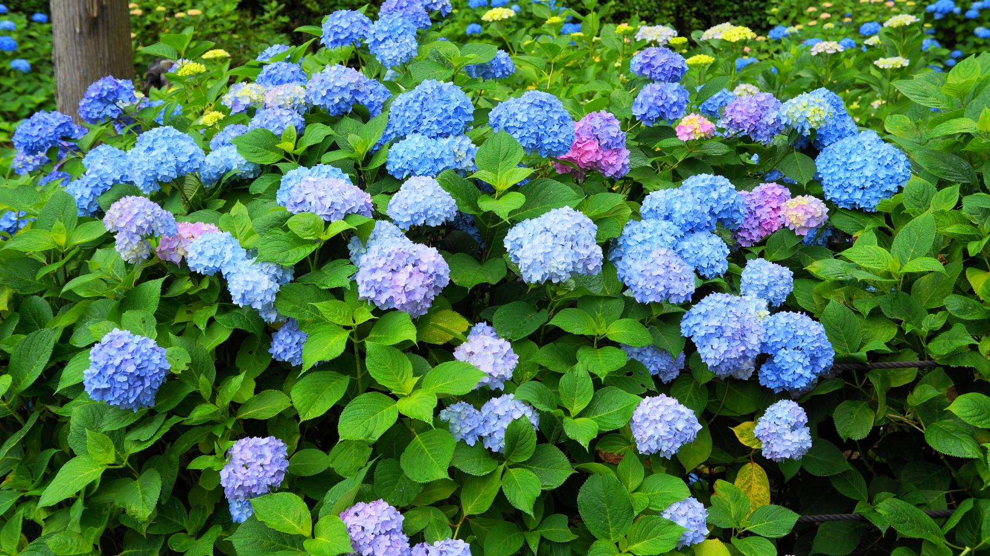 緑の上で華やぐ爽やかで綺麗なたくさんの紫陽花