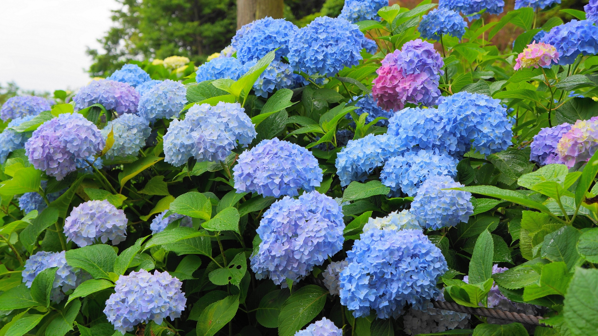 いろんな色のボールが浮かび上がるように咲く三室戸寺のあじさい
