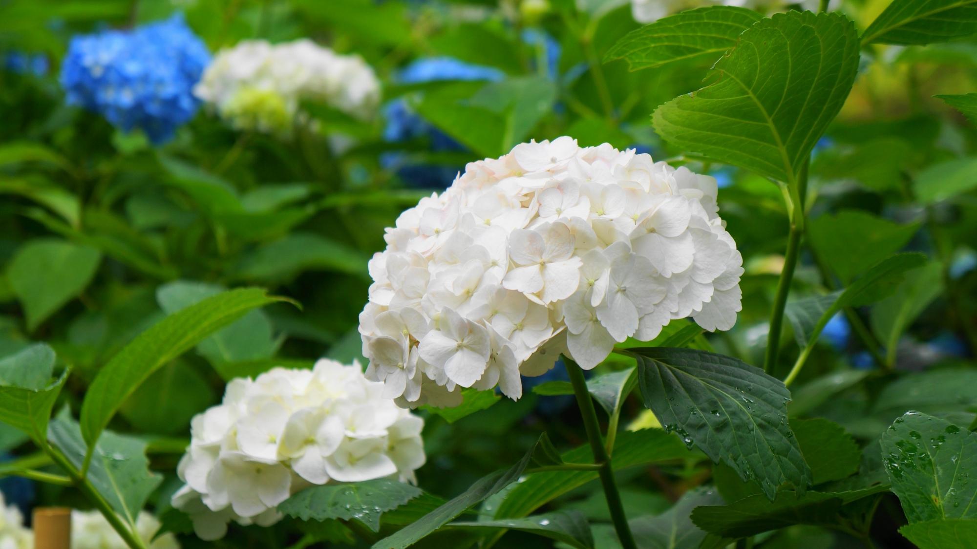 三室戸寺の深い緑の中で引き立つ真っ白な紫陽花