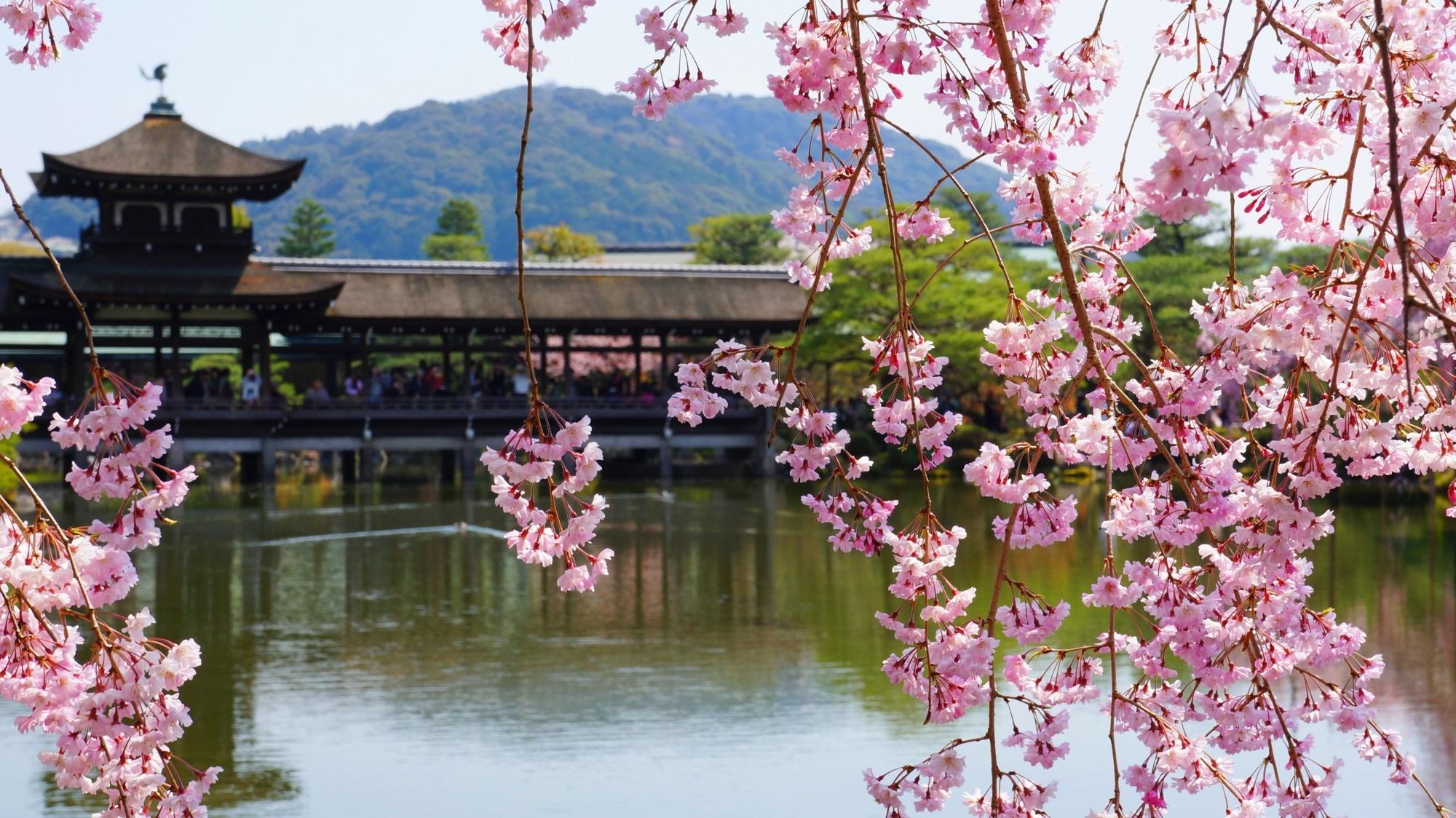 優雅に咲き乱れる水辺の桜