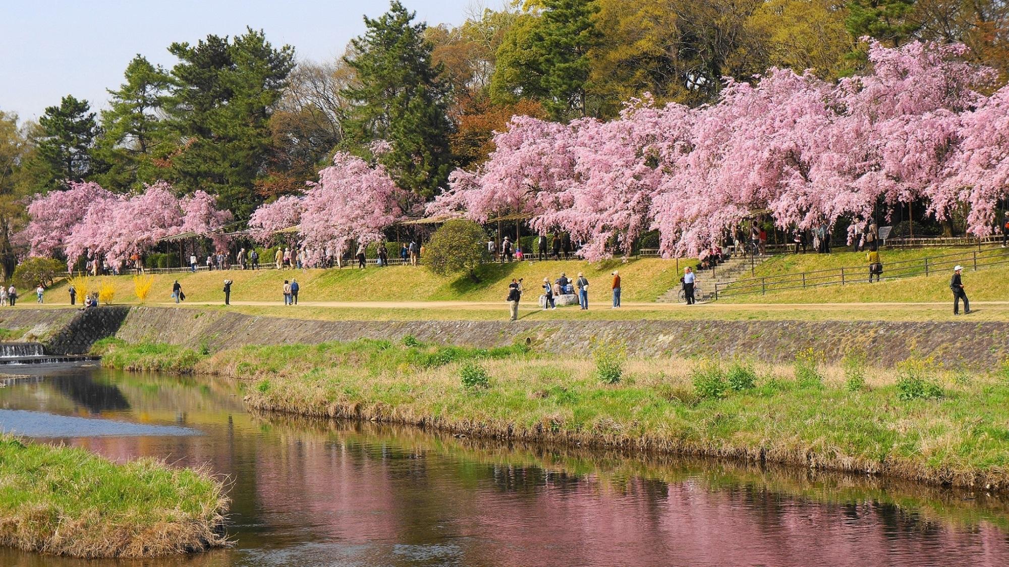 半木の道(なからぎの道) 桜 華やかなしだれ桜並木