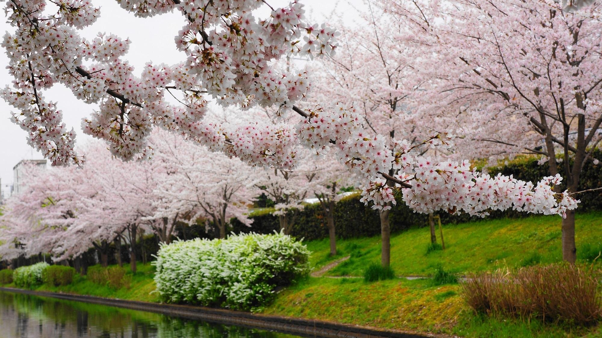 酒蔵の街の華やかな桜