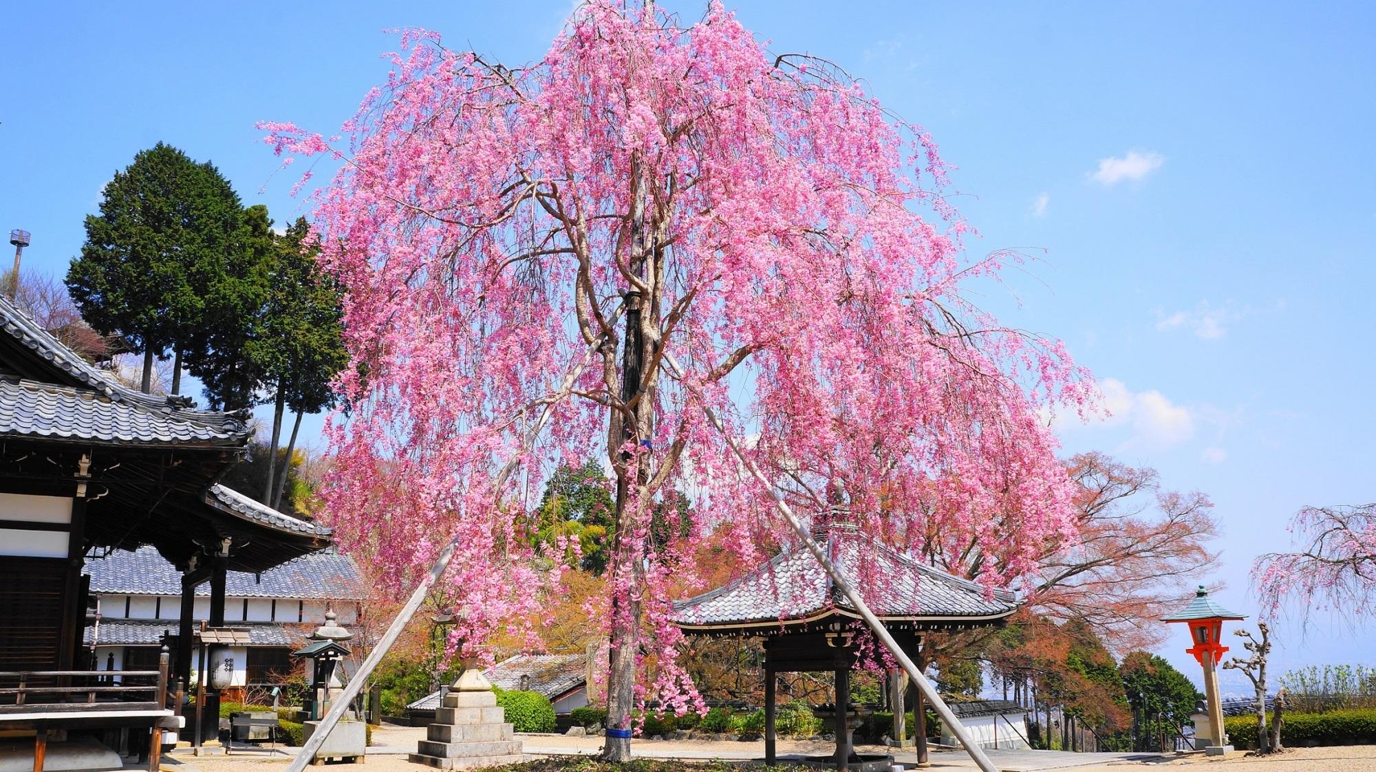 西山と青空を彩る鮮やかな桜