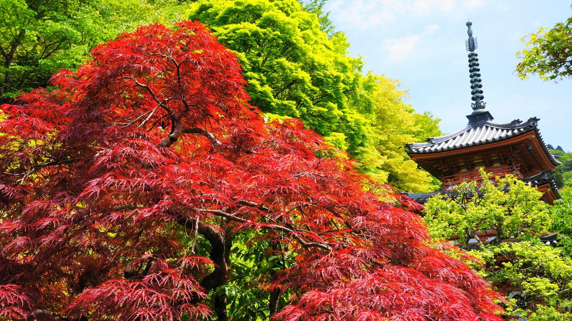 三室戸寺の三重塔と春に紅くなる鮮やかなもみじ