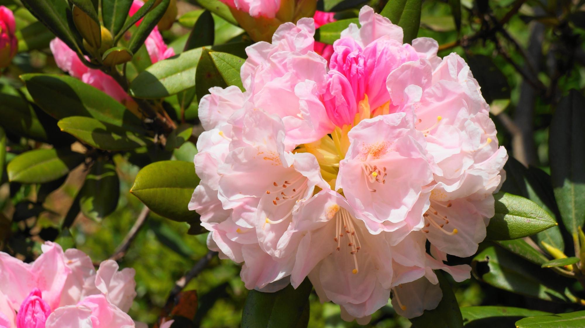 太陽を浴びて煌くほのかなピンクの石楠花
