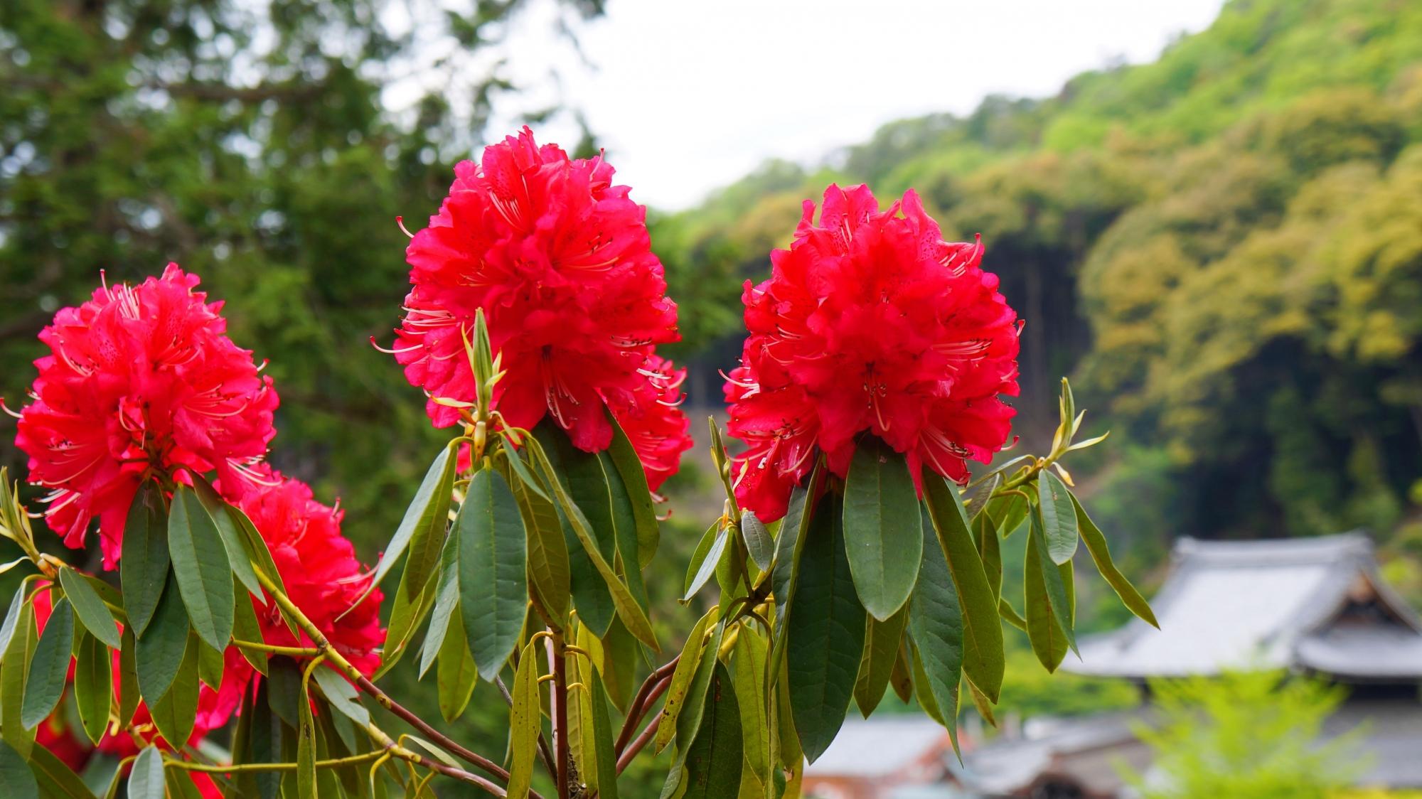 本堂を背景にした風情ある石楠花