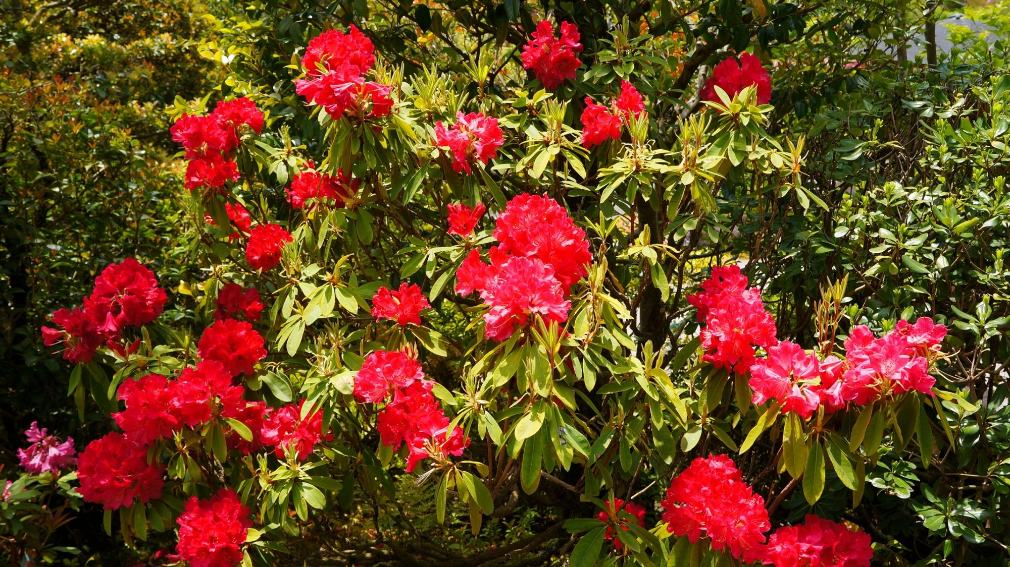 長閑で自然溢れる境内を鮮やかに彩るシャクナゲ
