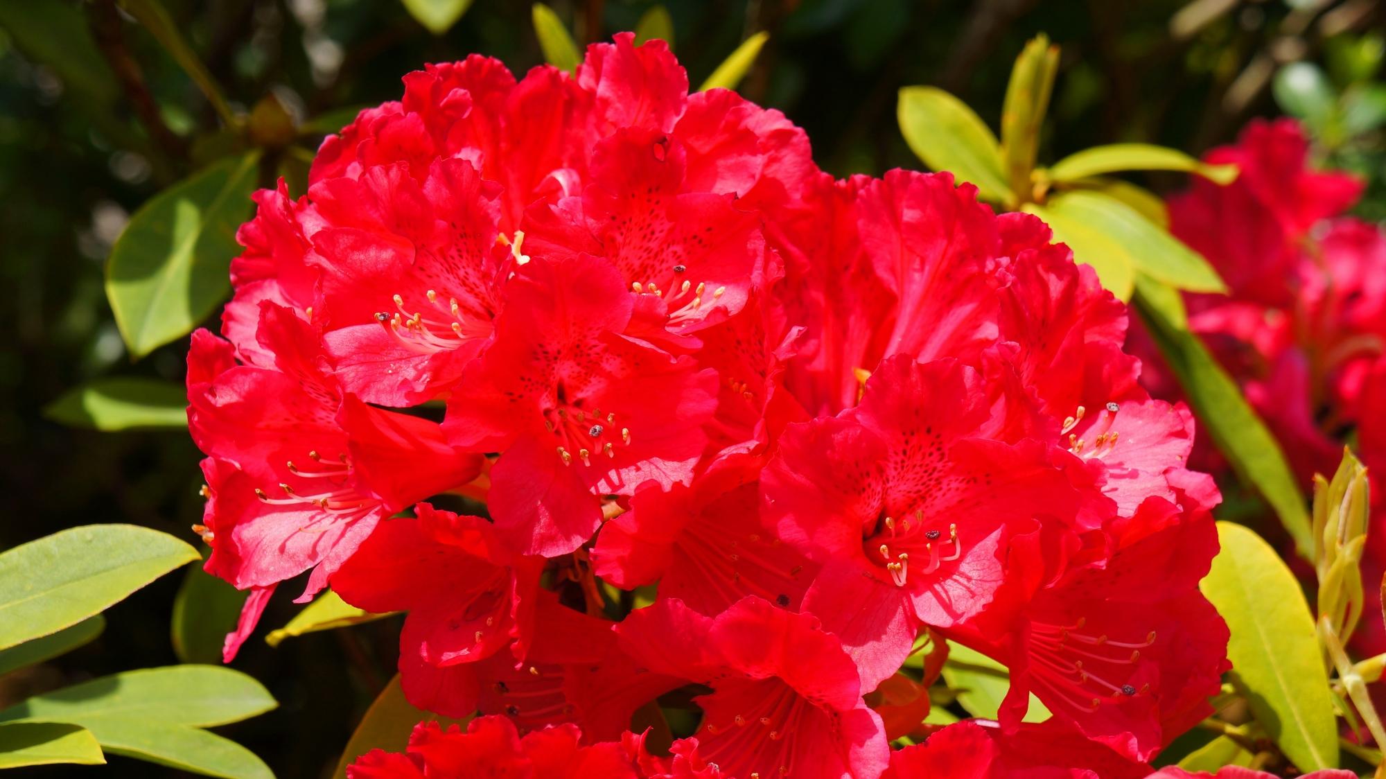三室戸寺の情熱的な赤さの石楠花
