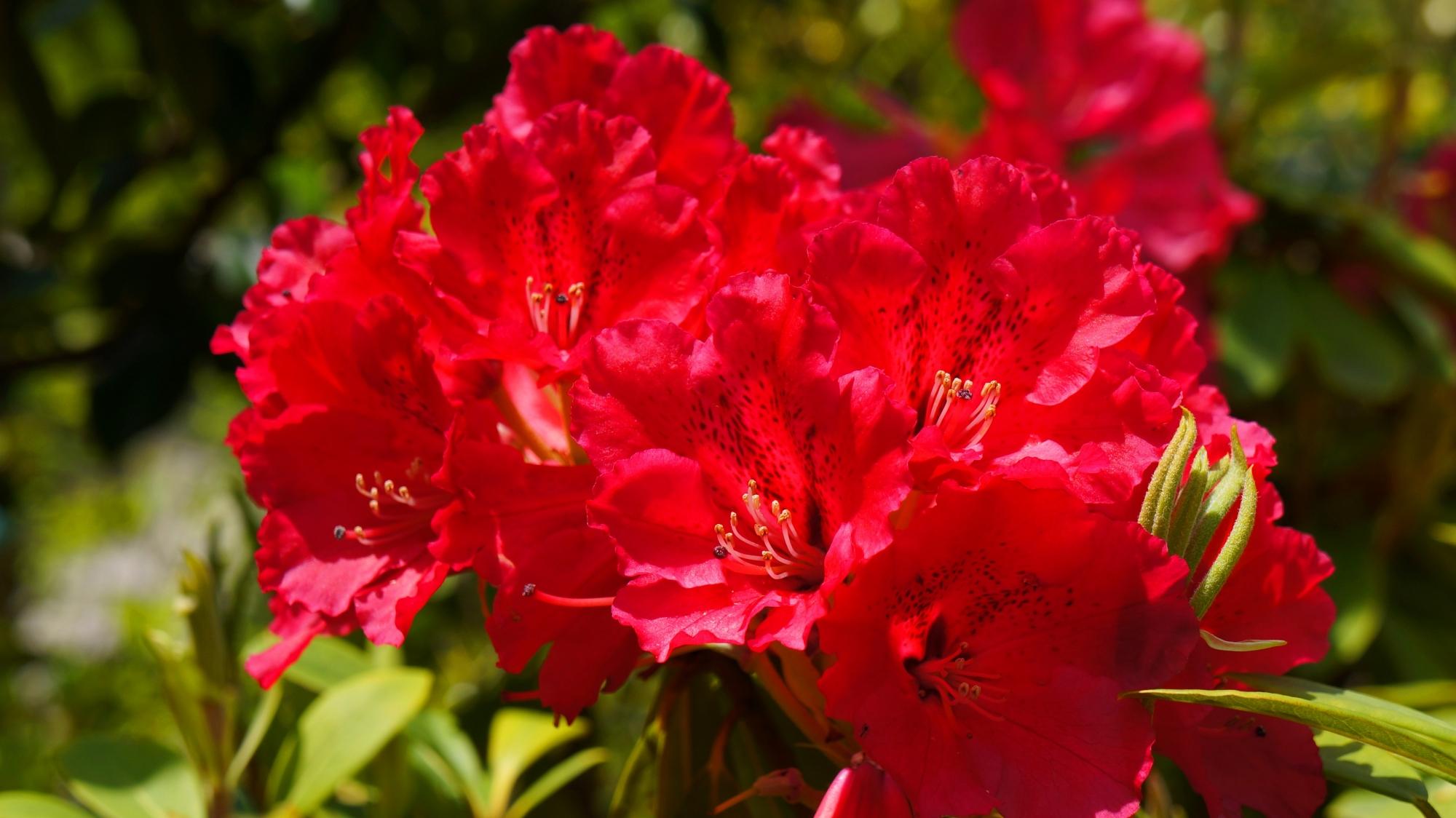 三室戸寺の真っ赤な鮮烈な色合いの石楠花