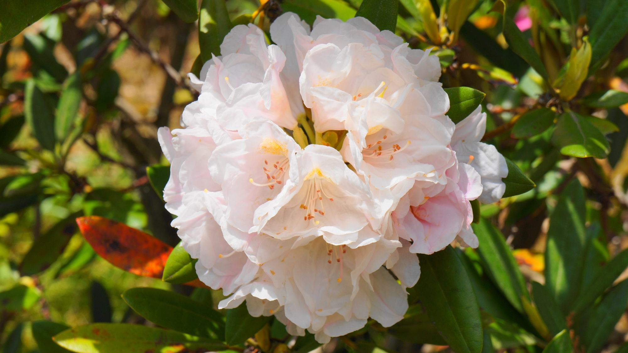 春を彩る華やかな石楠花の花