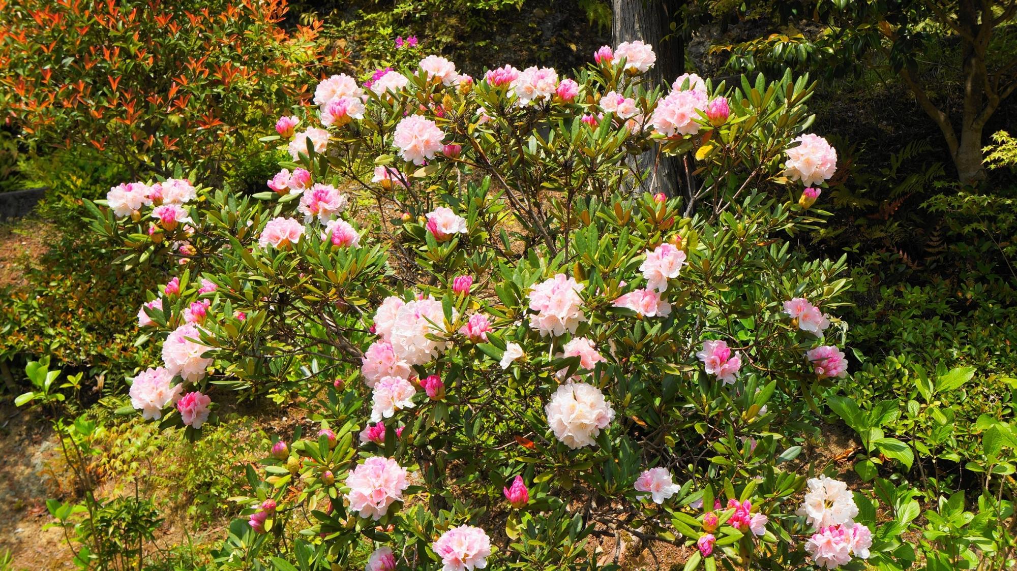三室戸寺の池泉回遊式庭園の近くにある石楠花(シャクナゲ)