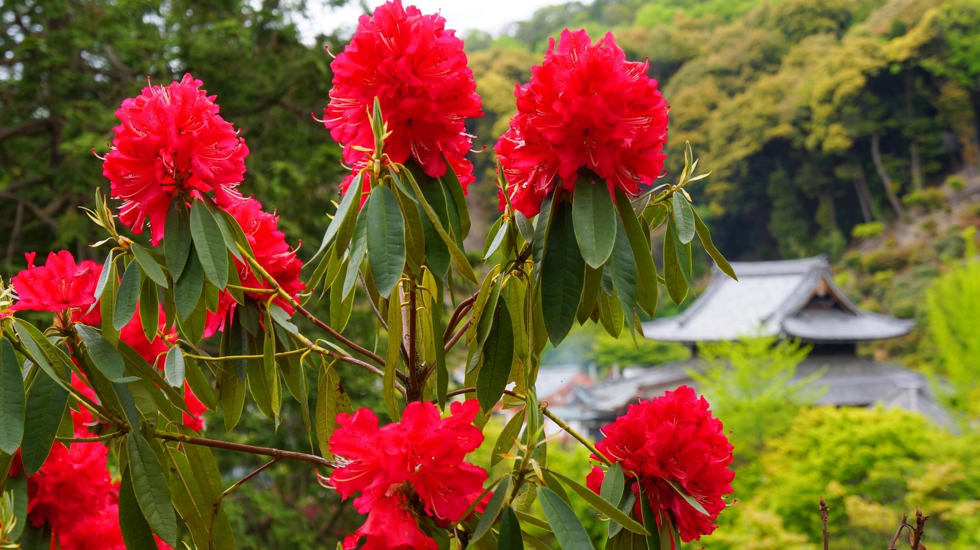 満開の石楠花が溢れ出す春の三室戸寺