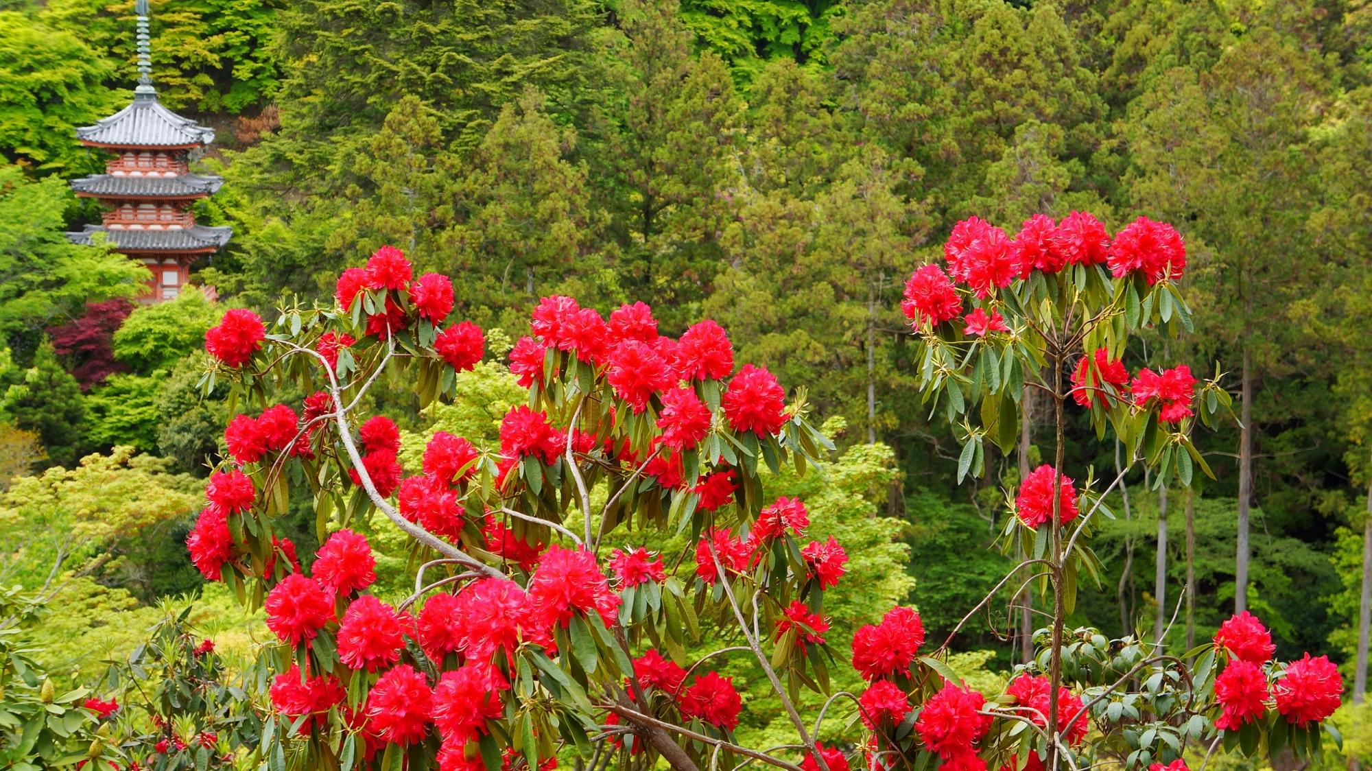 三室戸寺の緑豊かな境内に映える真っ赤な石楠花