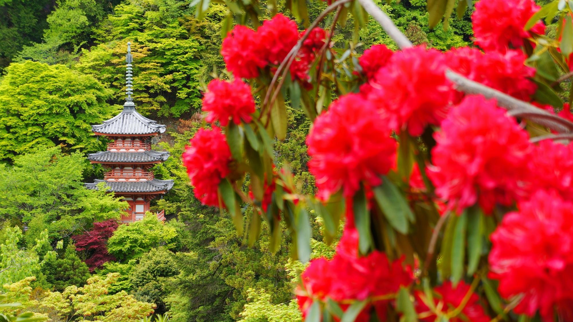 三室戸寺の朱色の三重塔を鮮やかに彩る石楠花
