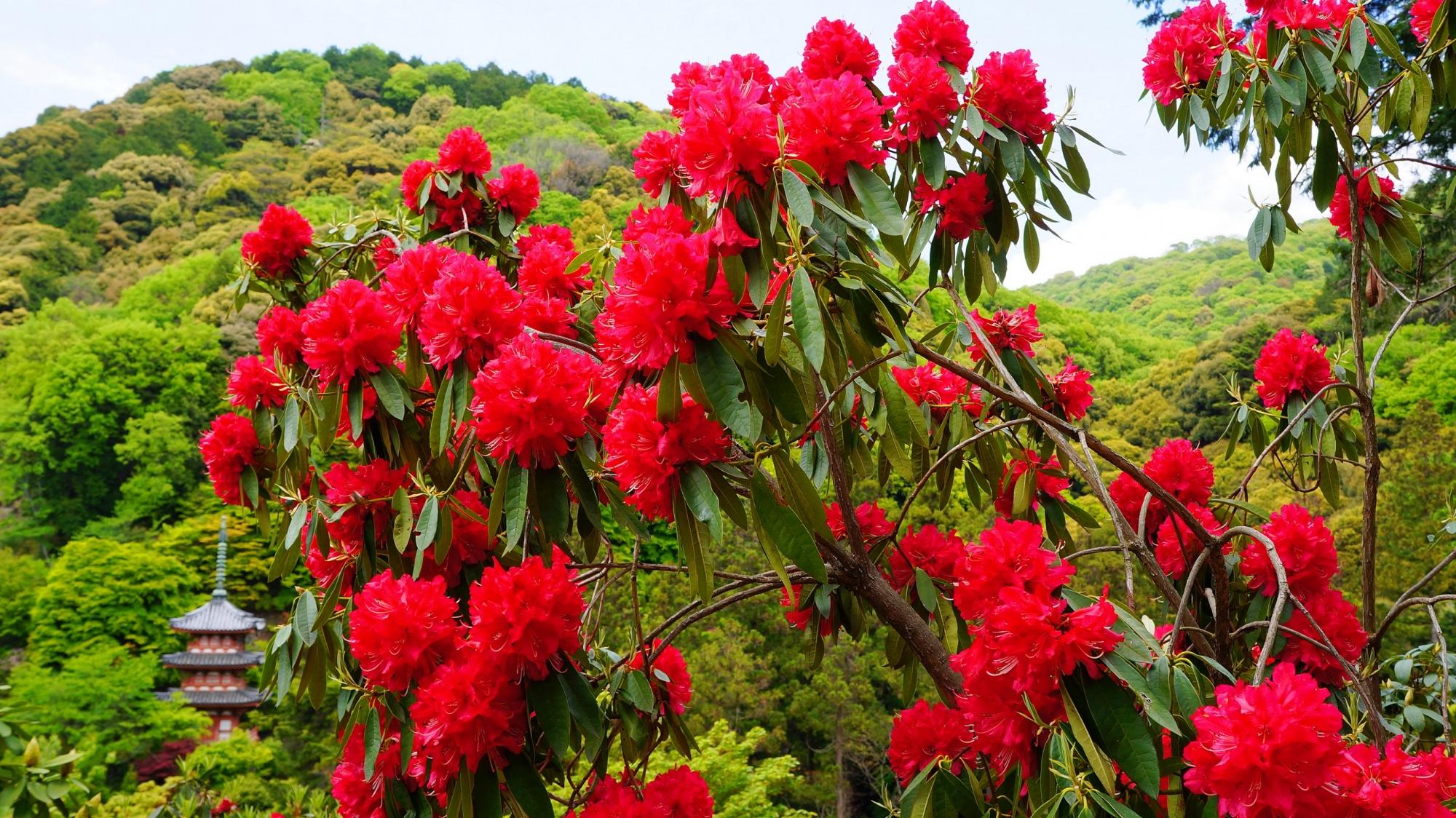 三室戸寺のシャクナゲ園(シャクナゲの谷)の石楠花