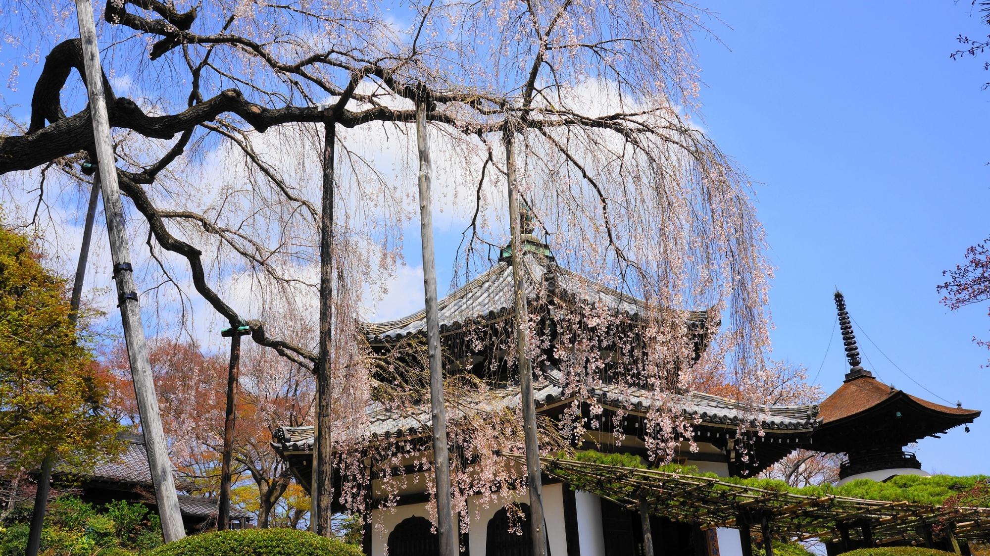 見ごろ過ぎの桂昌院お手植えのしだれ桜