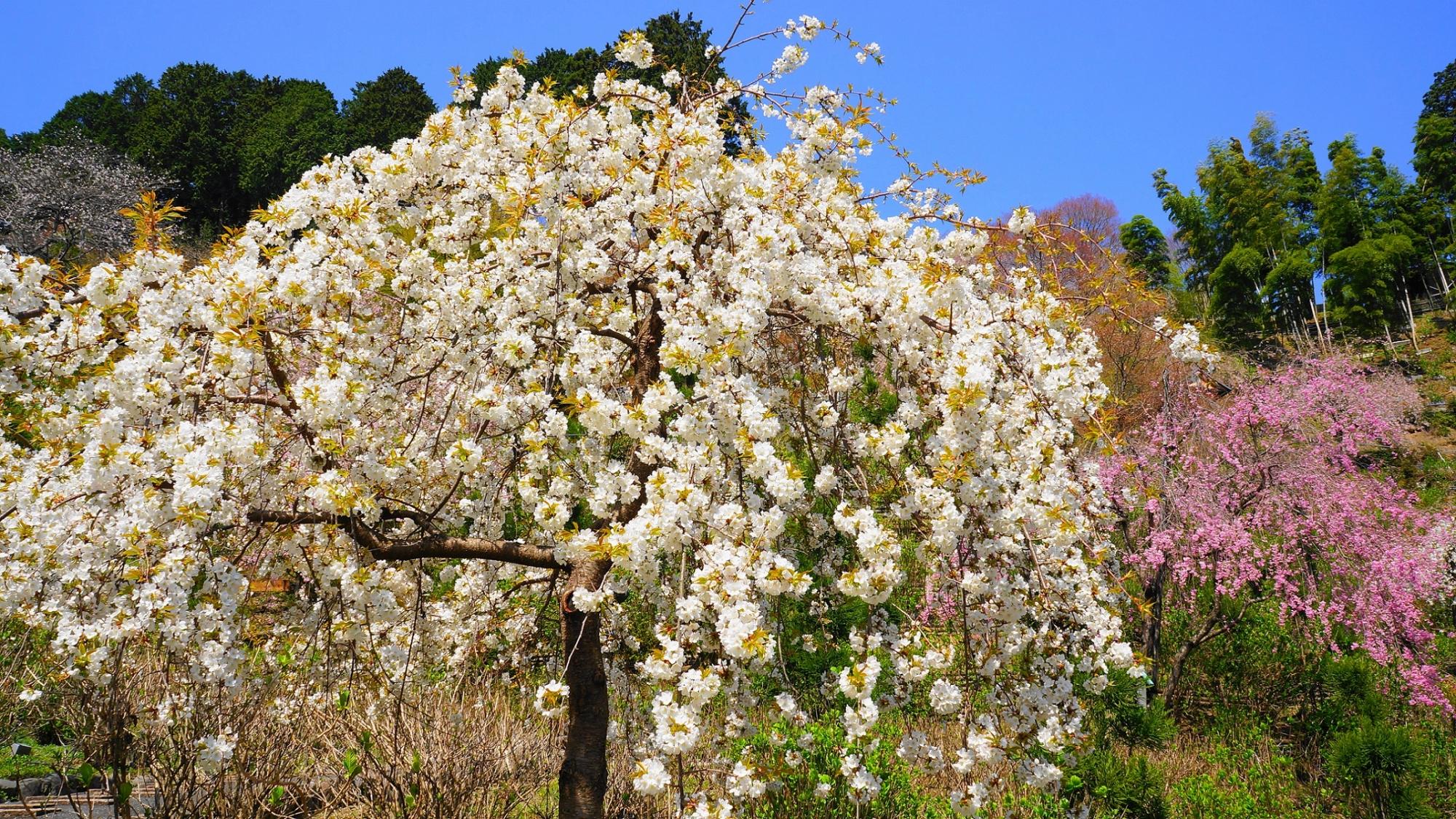 モコモコした白い花の山桜