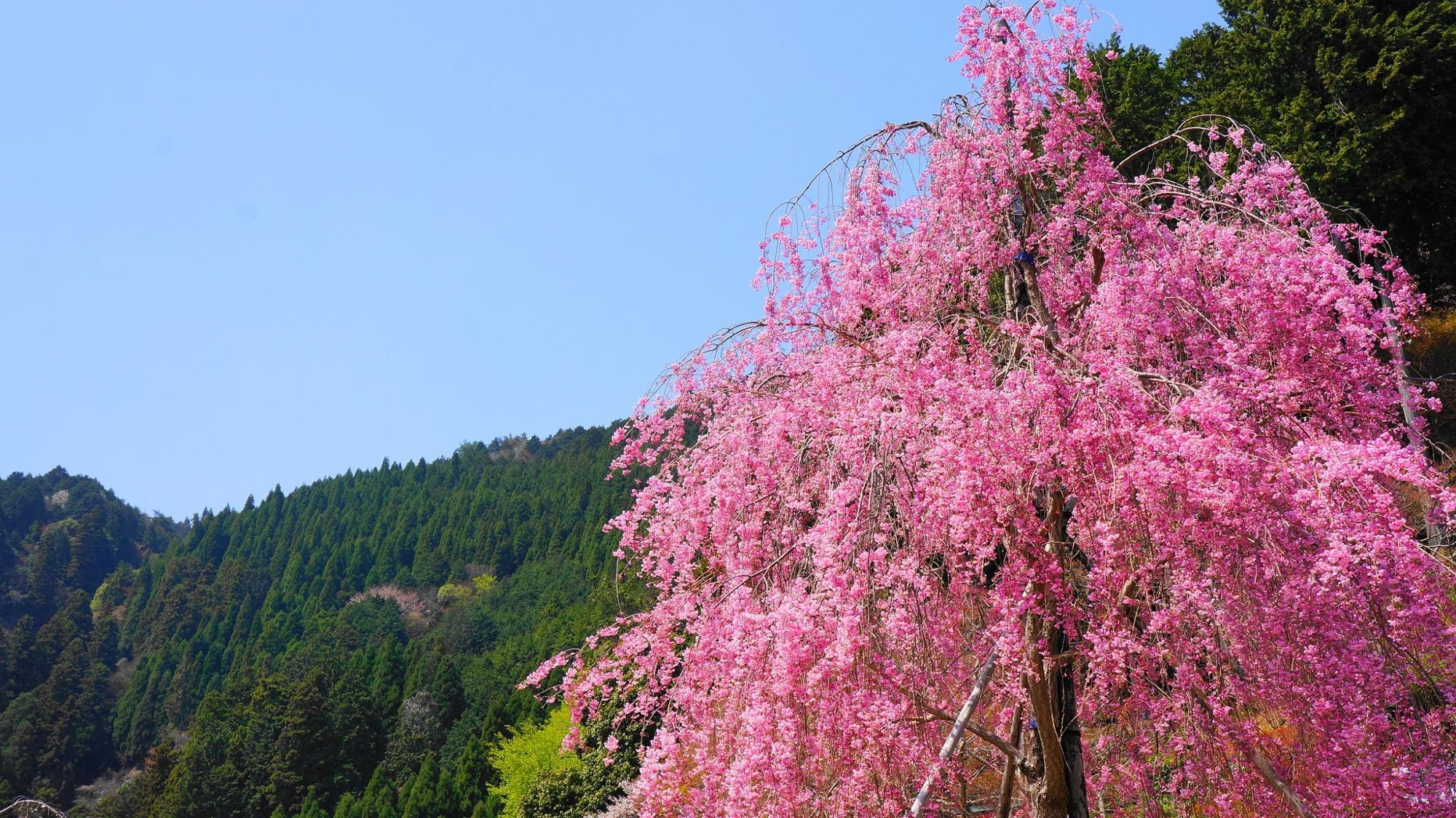快晴の空に映える鮮やかなピンクの桜