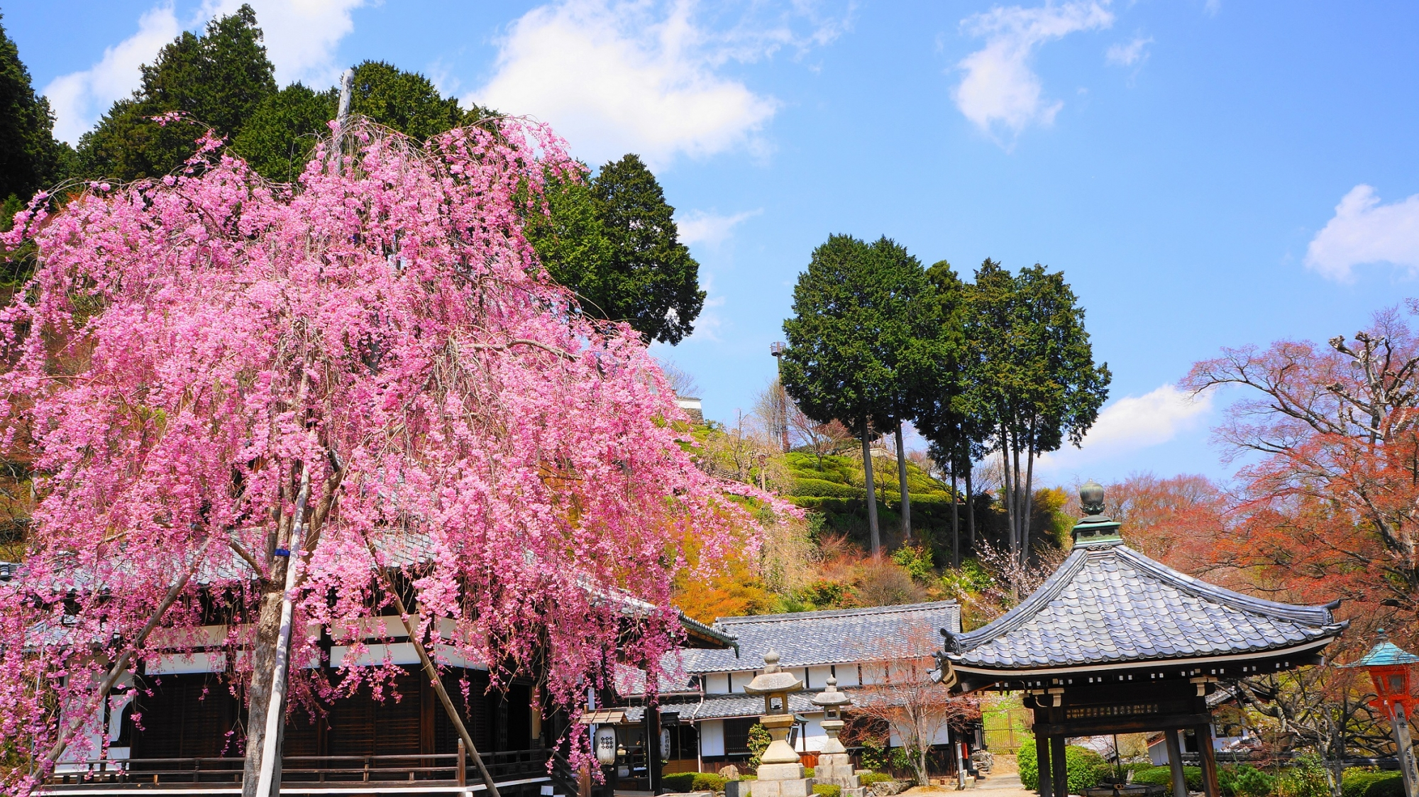 山寺の絵になる桜の風景