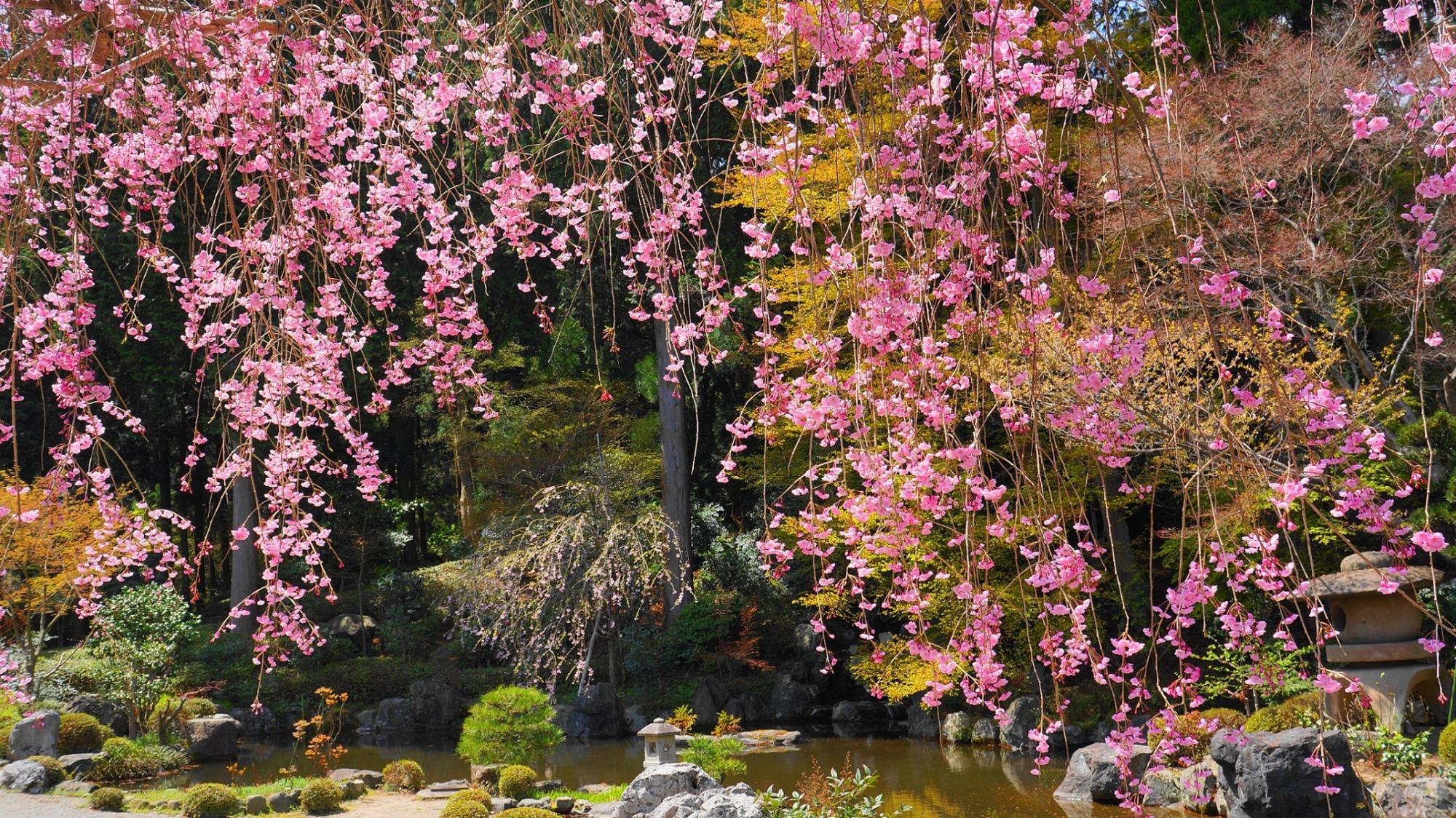 善峯寺の蓮華寿院庭のしだれと春の情景
