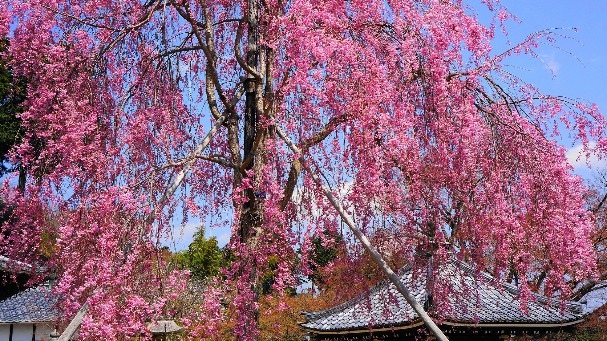 青空から釈迦堂に降り注ぐ満開のしだれ桜