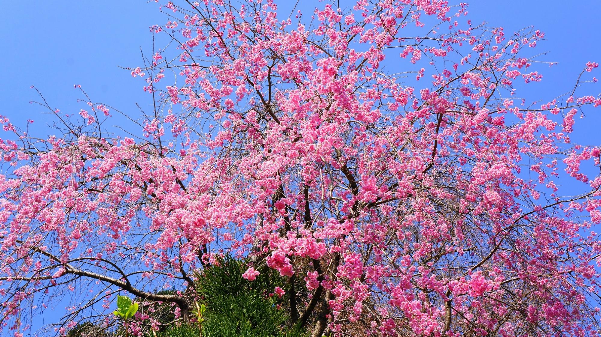 青空に映える鮮やかなピンクの花
