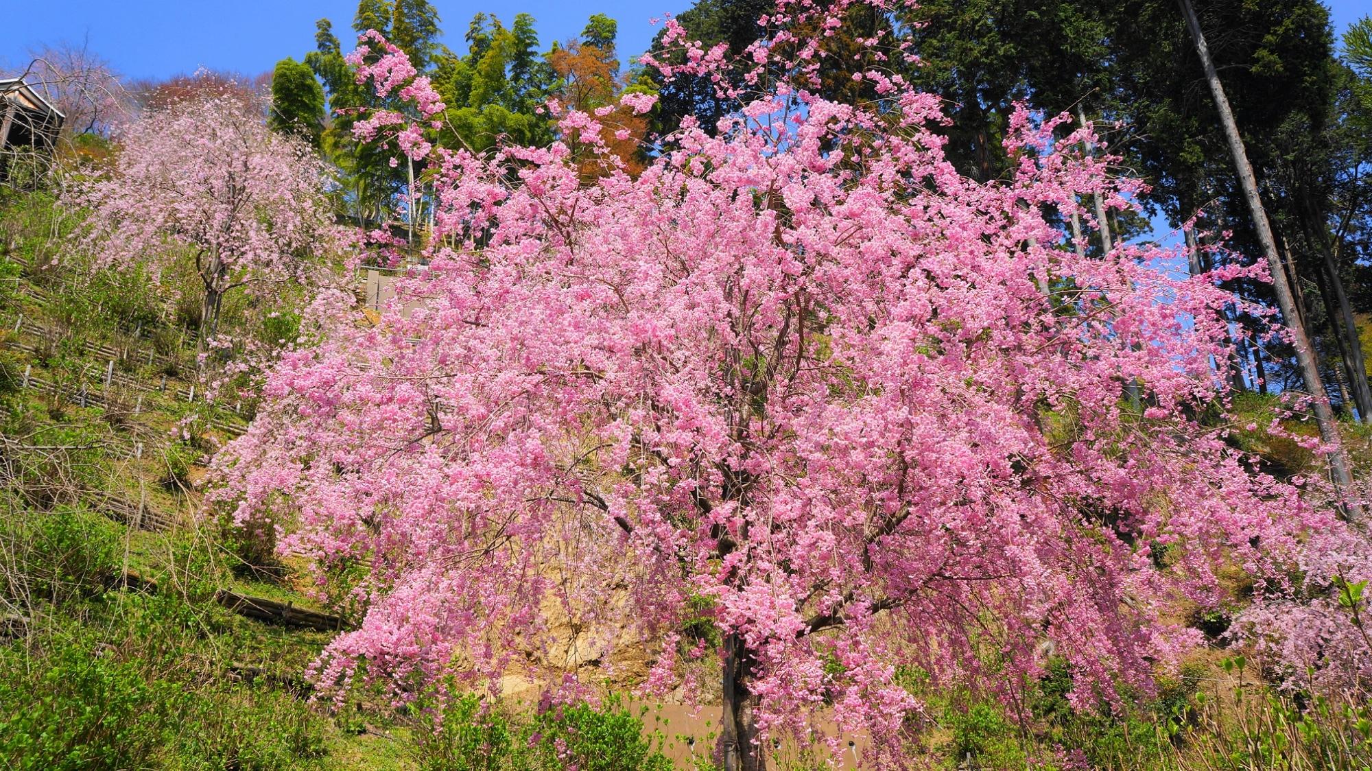 善峯寺の咲き誇るピンクのしだれ桜