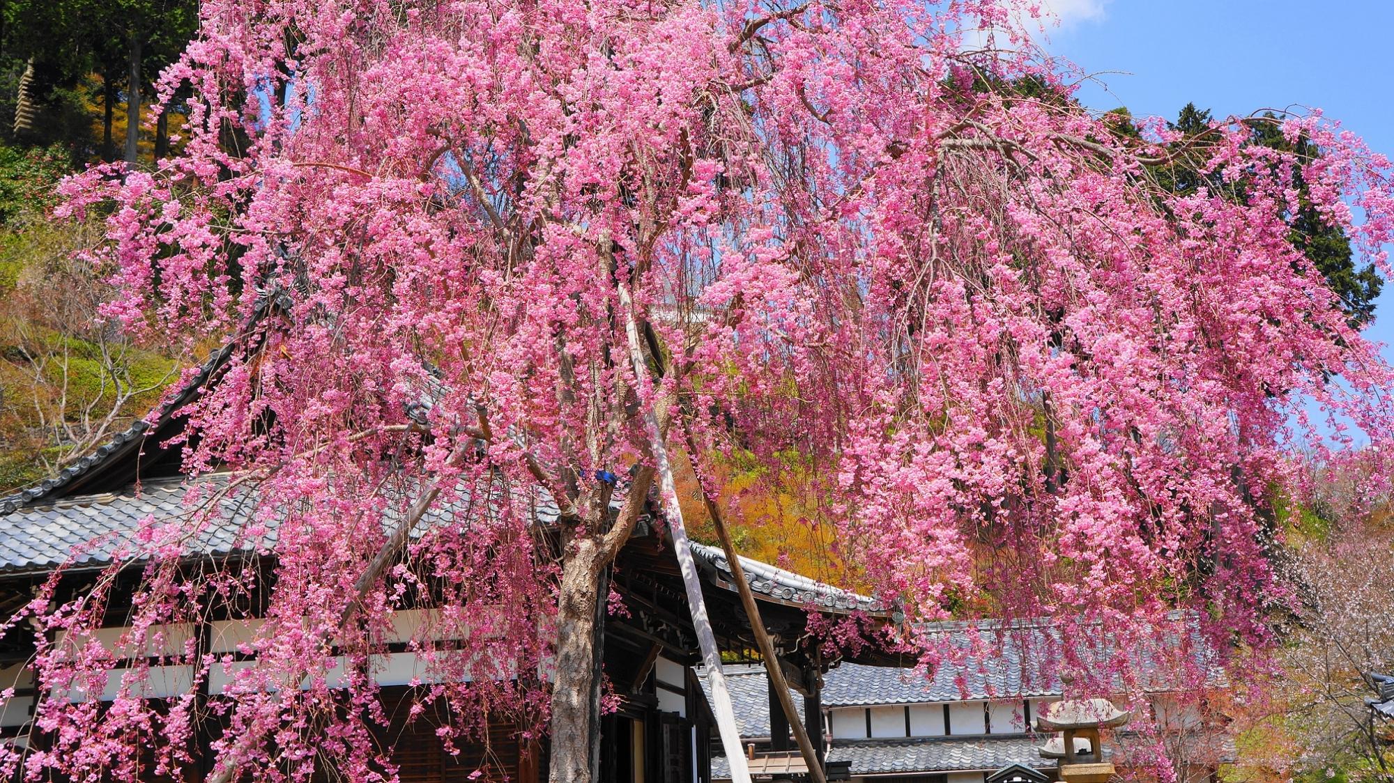 釈迦堂をつつむピンクのしだれ桜