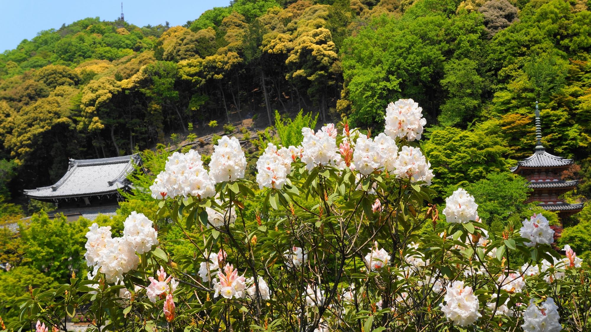 三室戸寺の素晴らしい石楠花と春の情景