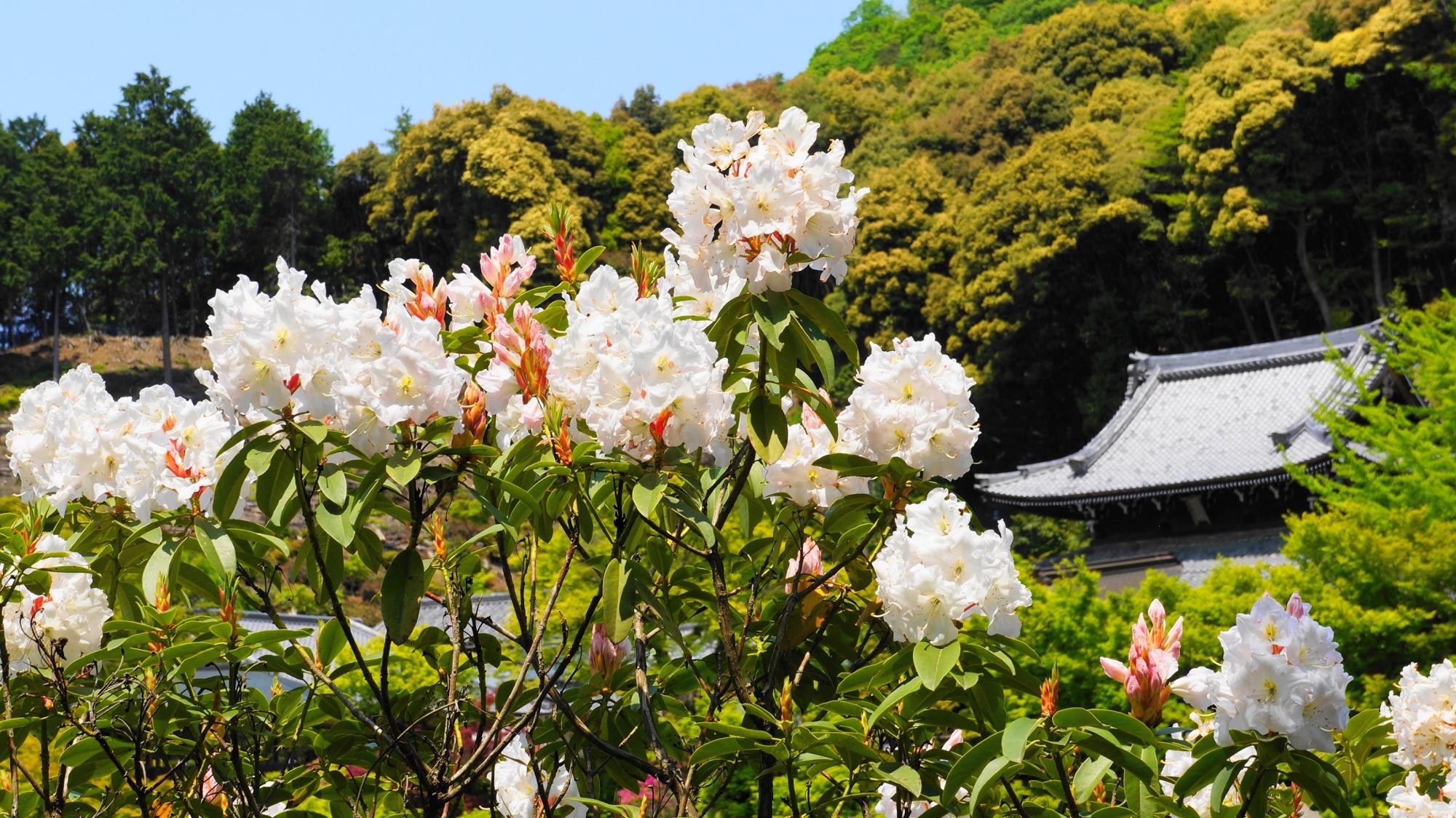 自然溢れる三室戸寺を華やぐ見事な石楠花